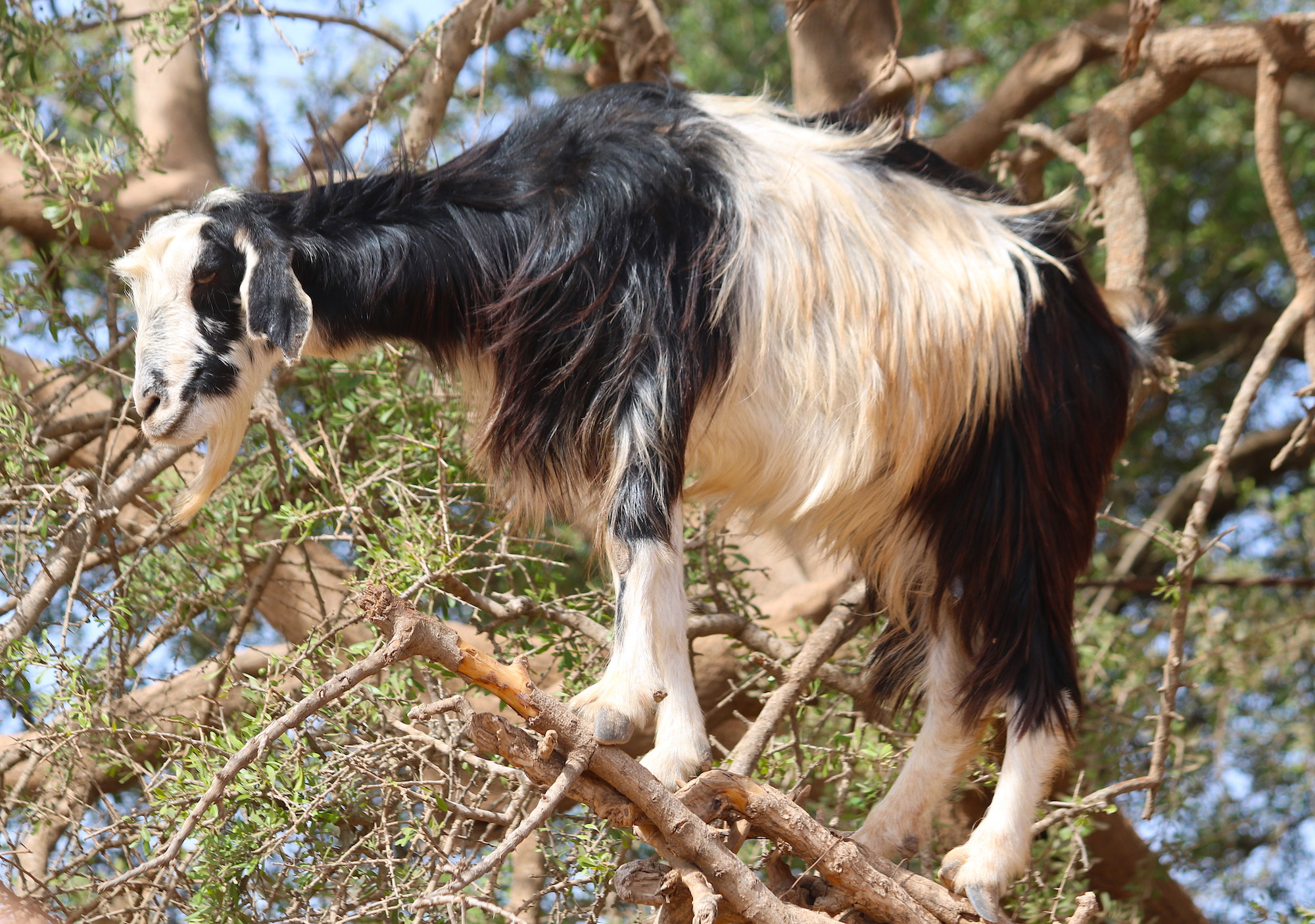 The Moroccan goats
