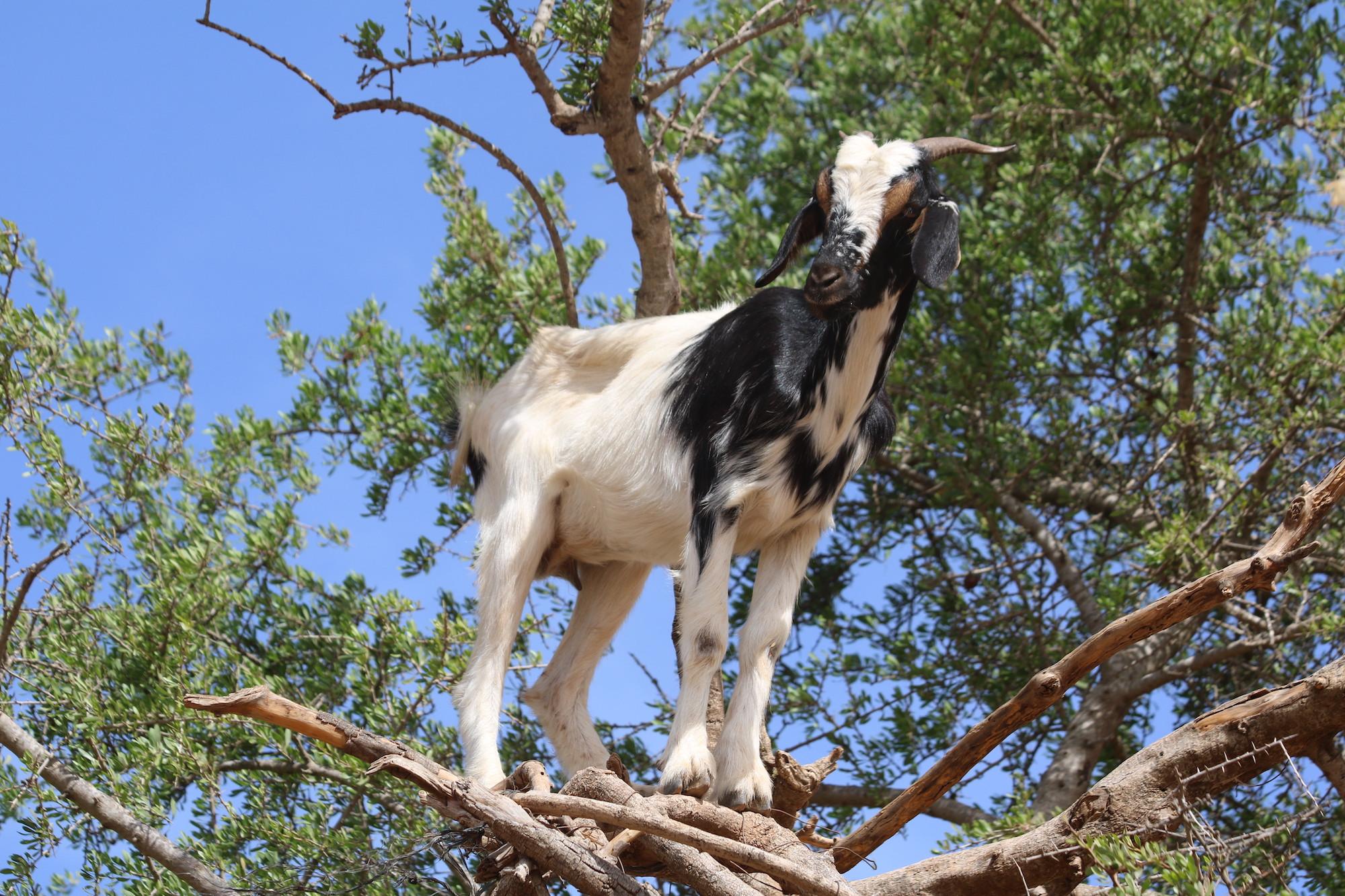 climbing-goat-8.JPG