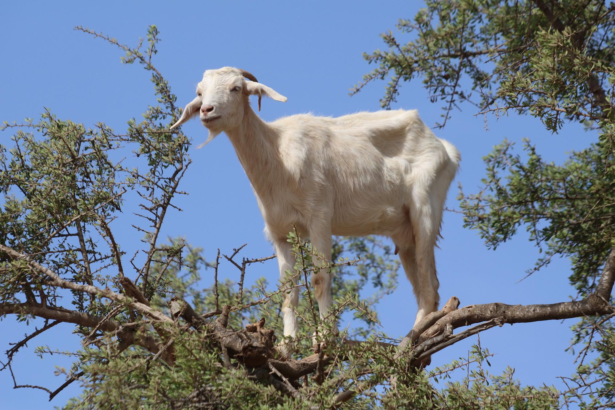 climbing-goat-9.JPG