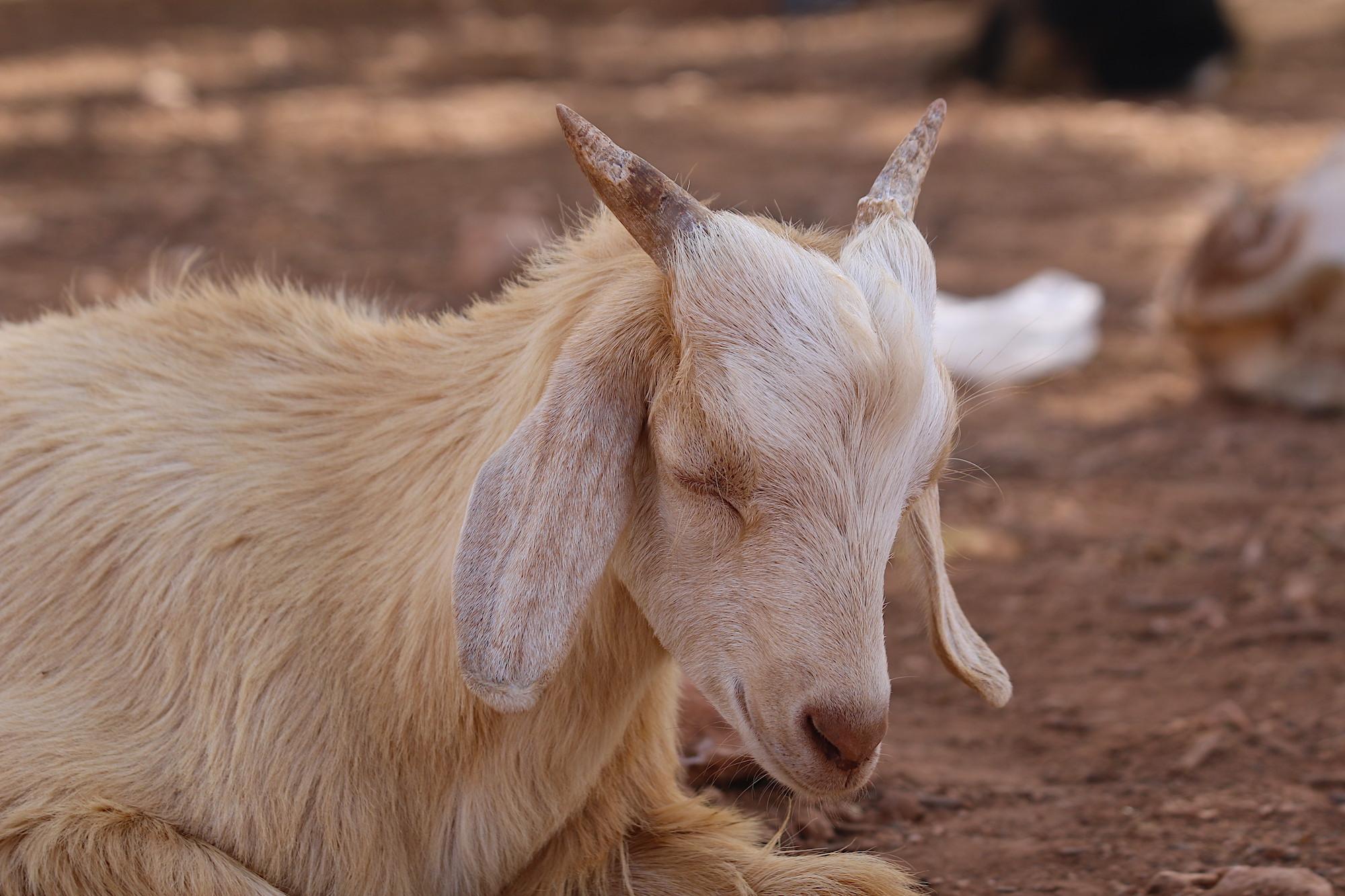 morroco-baby-goat-5.JPG