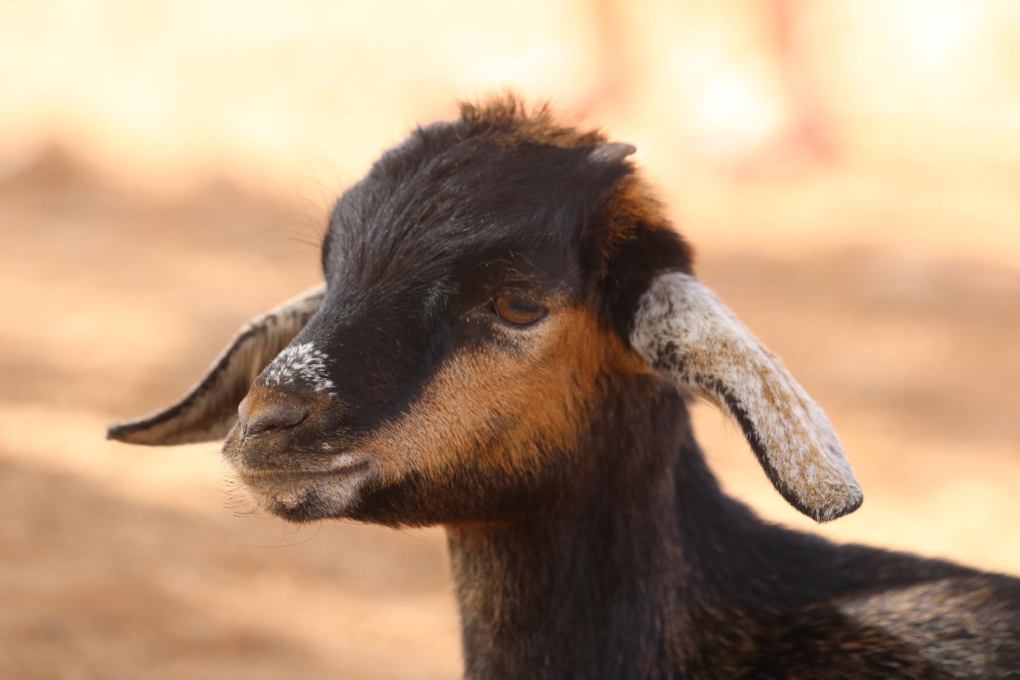 morroco-baby-goat.JPG