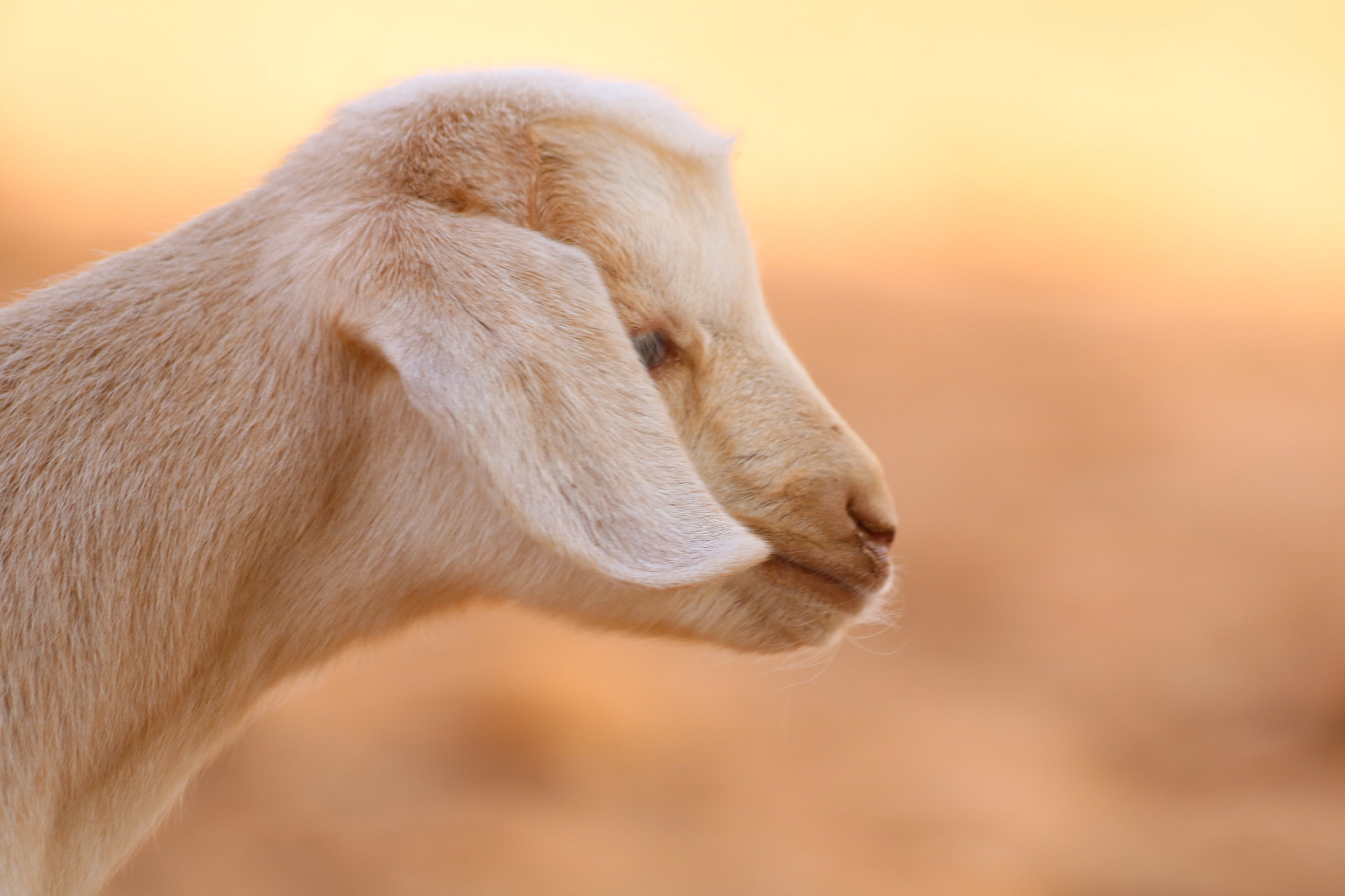 morroco-baby-goat-2.JPG
