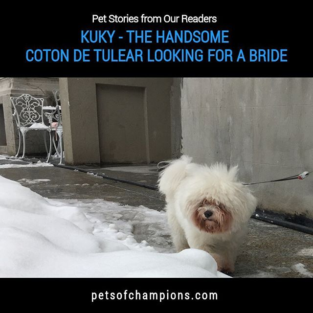 This week we have a story like no other! Our loving Coton de Tulear, Kuky is looking for his bride. Do you think we can give him a hand to find a sweetheart by sharing his story #dog#dogs#dogsofinstagram#doglife#doglover#doglove#instadogs#doggy #doggies #ilovemydog #dogoftheday #poodle #cotondetulear #pets #pet#petstagram#petsofinstagram#petsofchampions  Read the full story here:http://bit.ly/coton-kuky