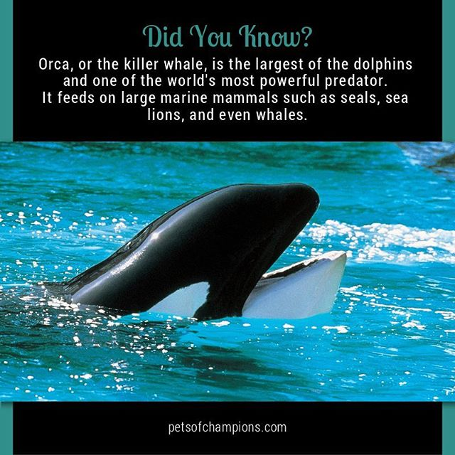 """Orca (Orcinus orca) or """"the killer whale"""" is a toothed whale belonging to the oceanic dolphin family, of which it is the largest member. Orcas are also known for grabbing seals right off the ice! #orca #killerwhale #DolphinDay #dolphins #savethedolphins #cetacean #underwater #seaworld #dolphin"""