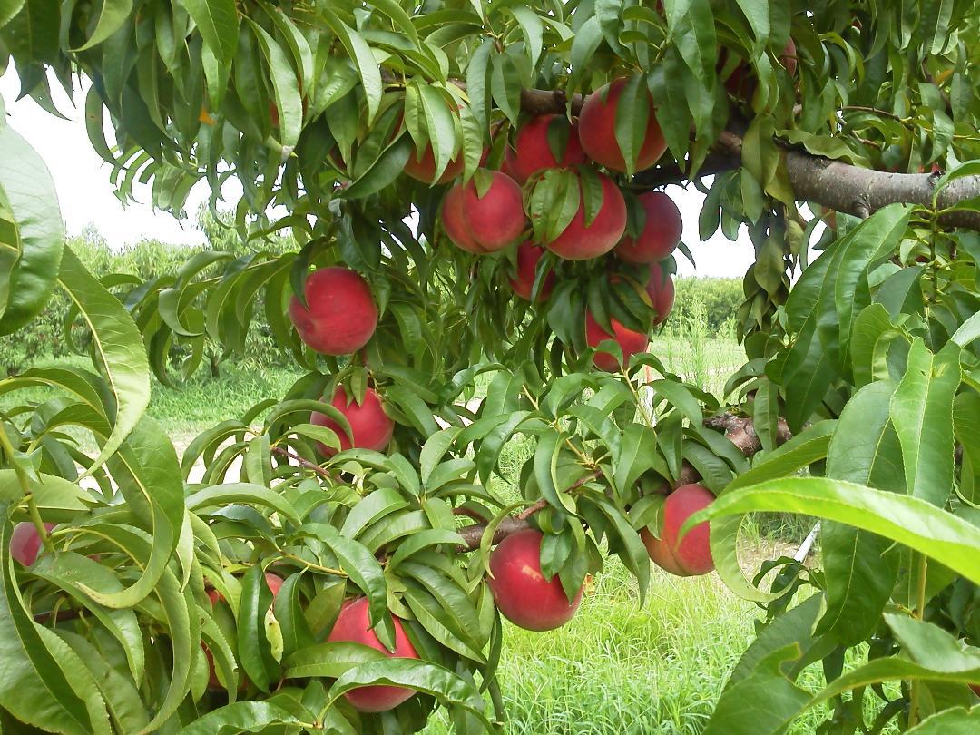 peaches on tree.jpg