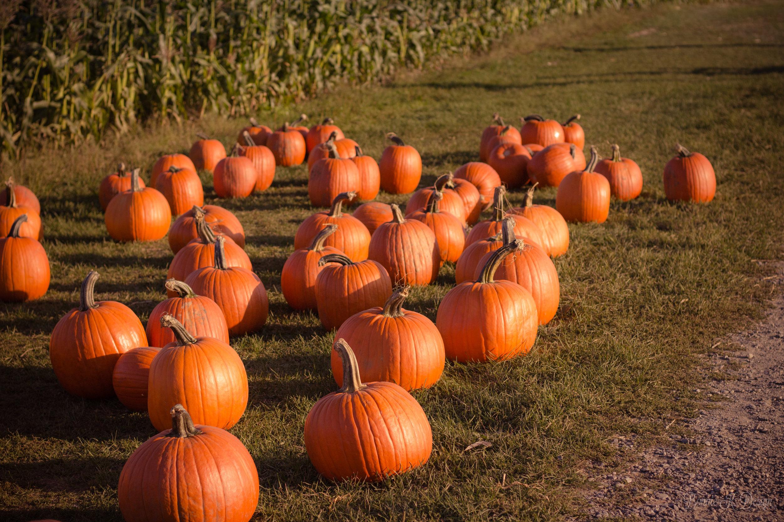 pumpkins at Duffields