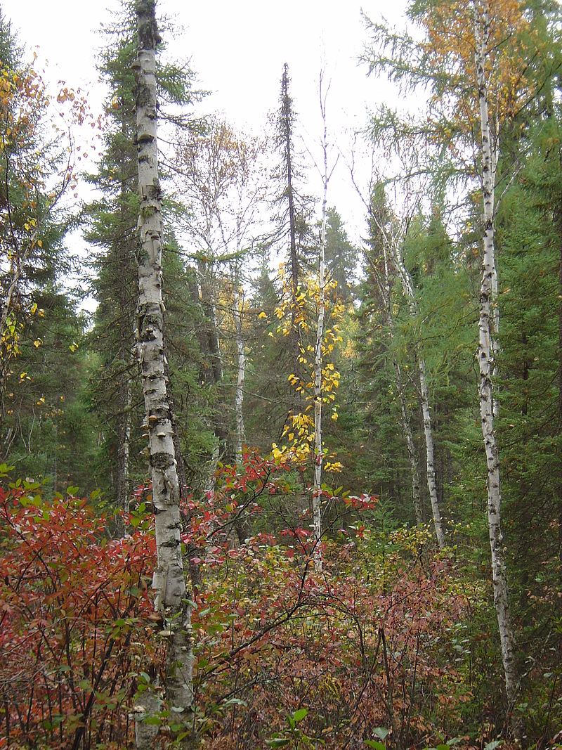 Boreal_forest_of_Canada_03269.jpg