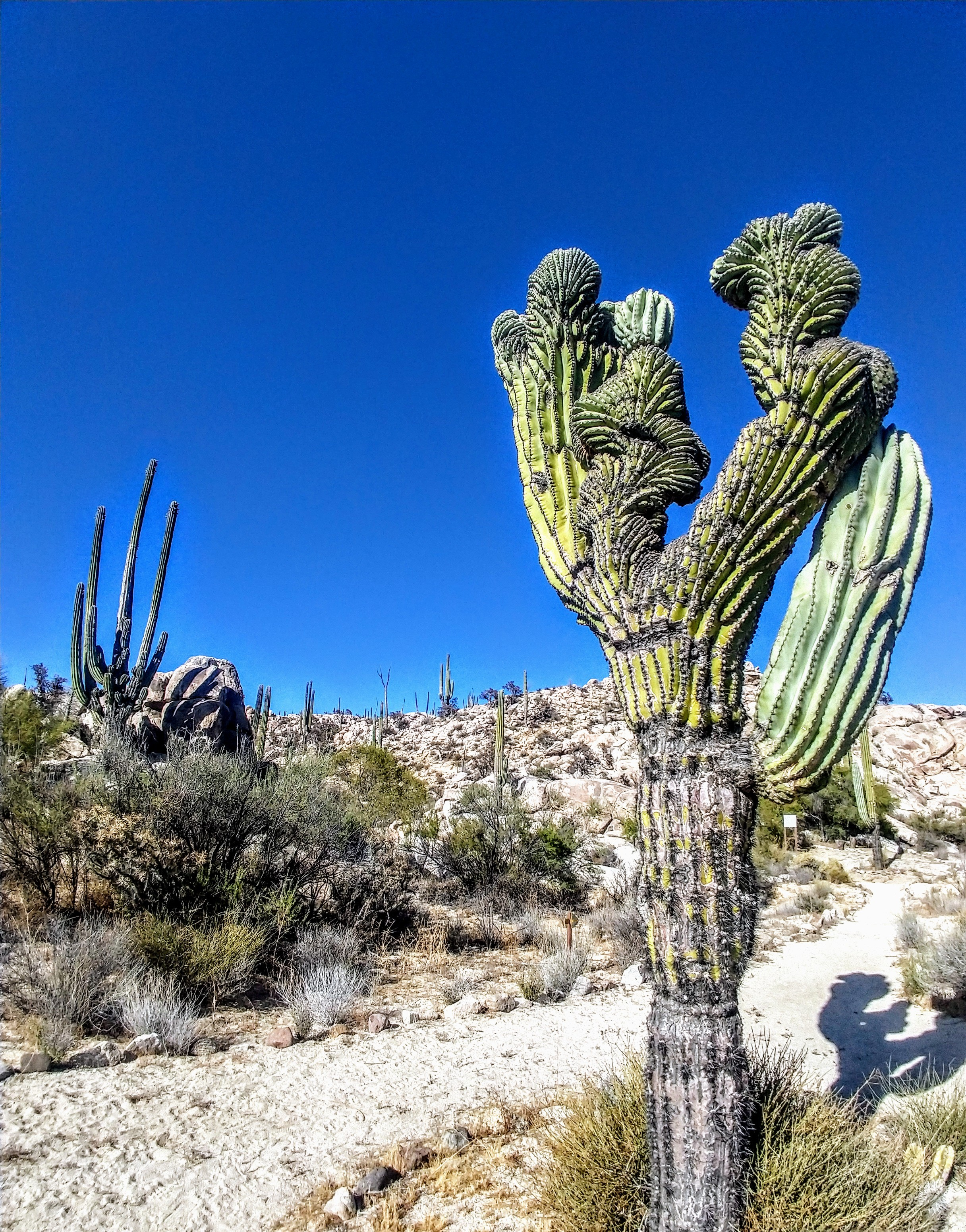 Catch a Cactuss in Cataviña! Only 20 yards to the next snake!