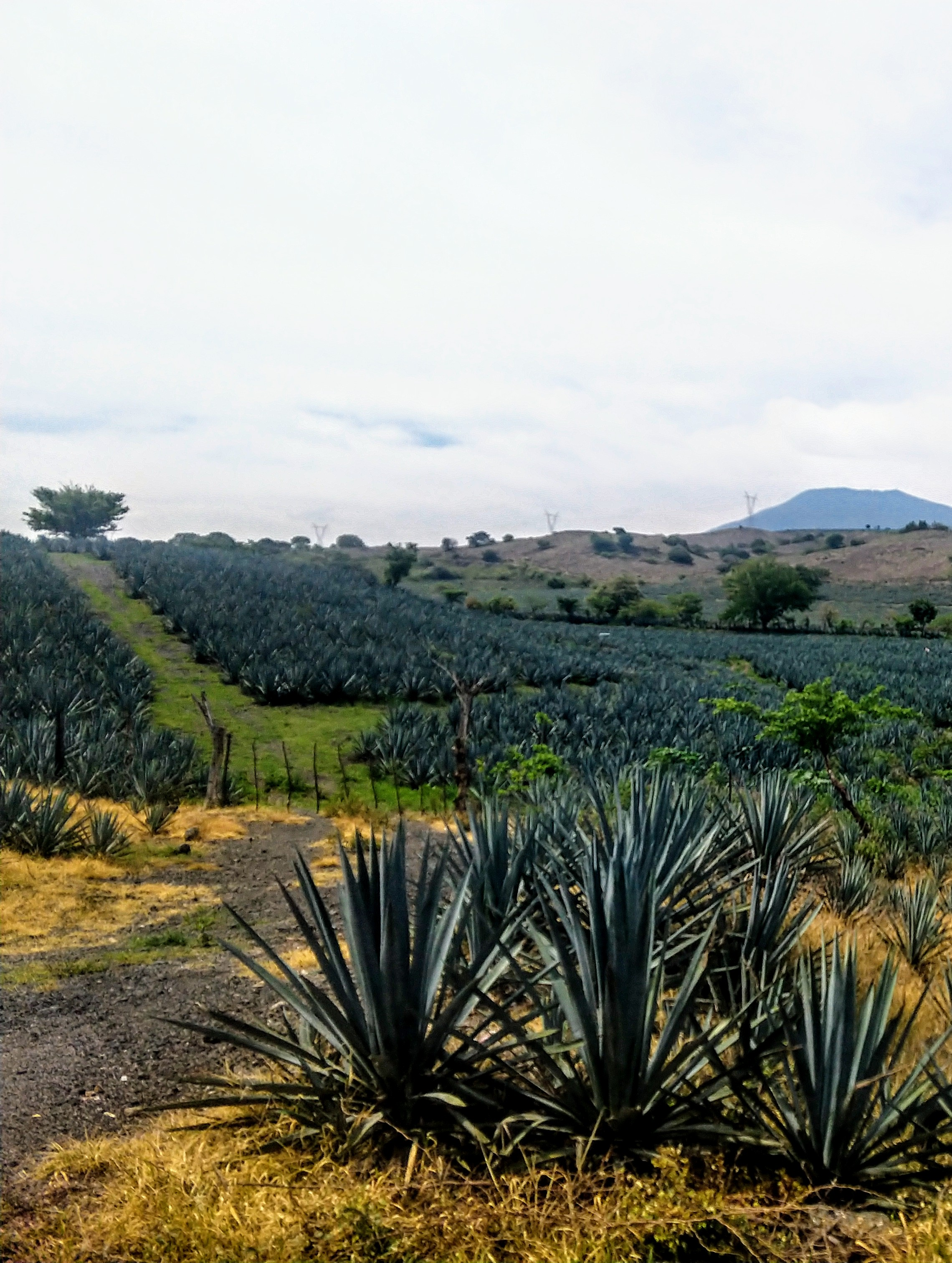 Agave Fields near Tequila.