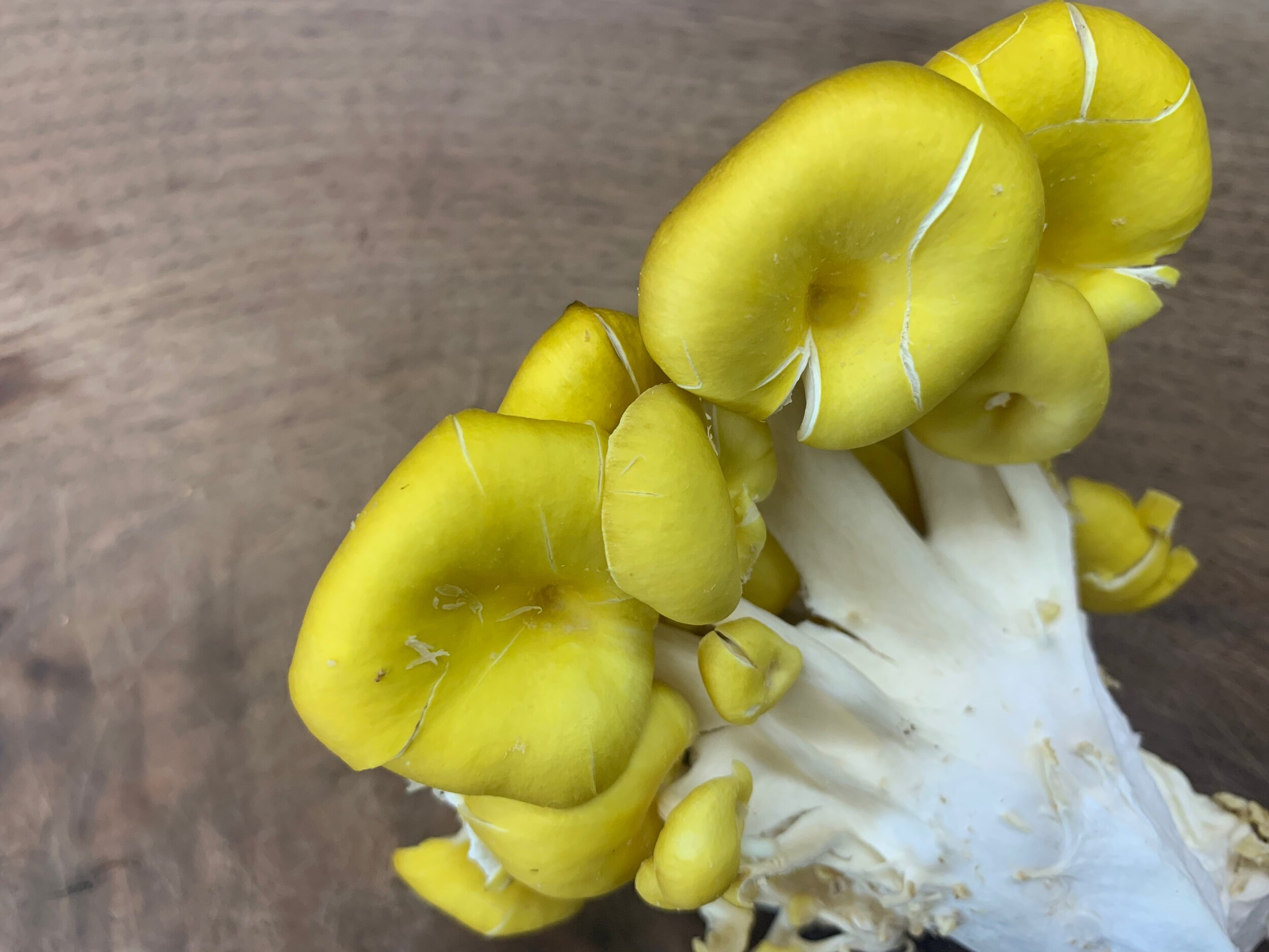 Photo Credit: The Magical Mushroom Hub | Yellow Oyster [Pleurotus citrinopileatus]