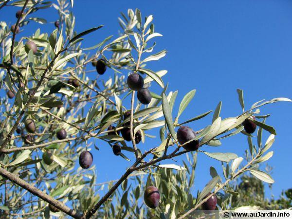 olea-europaea-fruit-600x450.jpg