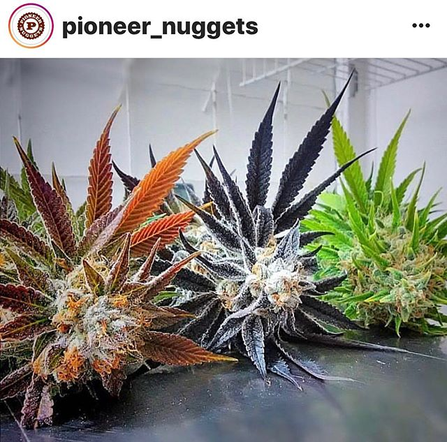 Love those @pioneer_nuggets #LegalizeIt @freedom_markets #Legalize #Dank #Cannabis #Joints #420 #710 #SWED #21+ #MMJ #Legit