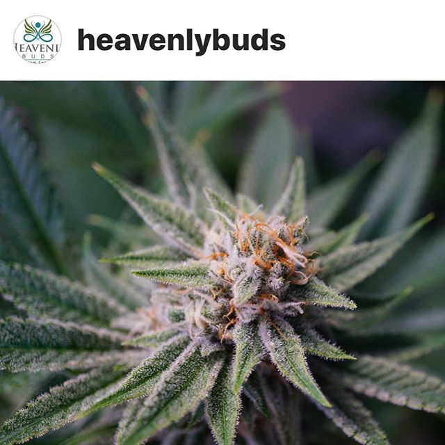 It's Heavenly Wednesday @freedom_markets don't ya know?! #LegalizeIt #Legalize #Dank #Cannabis #joints #420 #710 #SWED #21+ #MMJ #Herb #weed #bud #local #grower #cannabiscommunity #PNW
