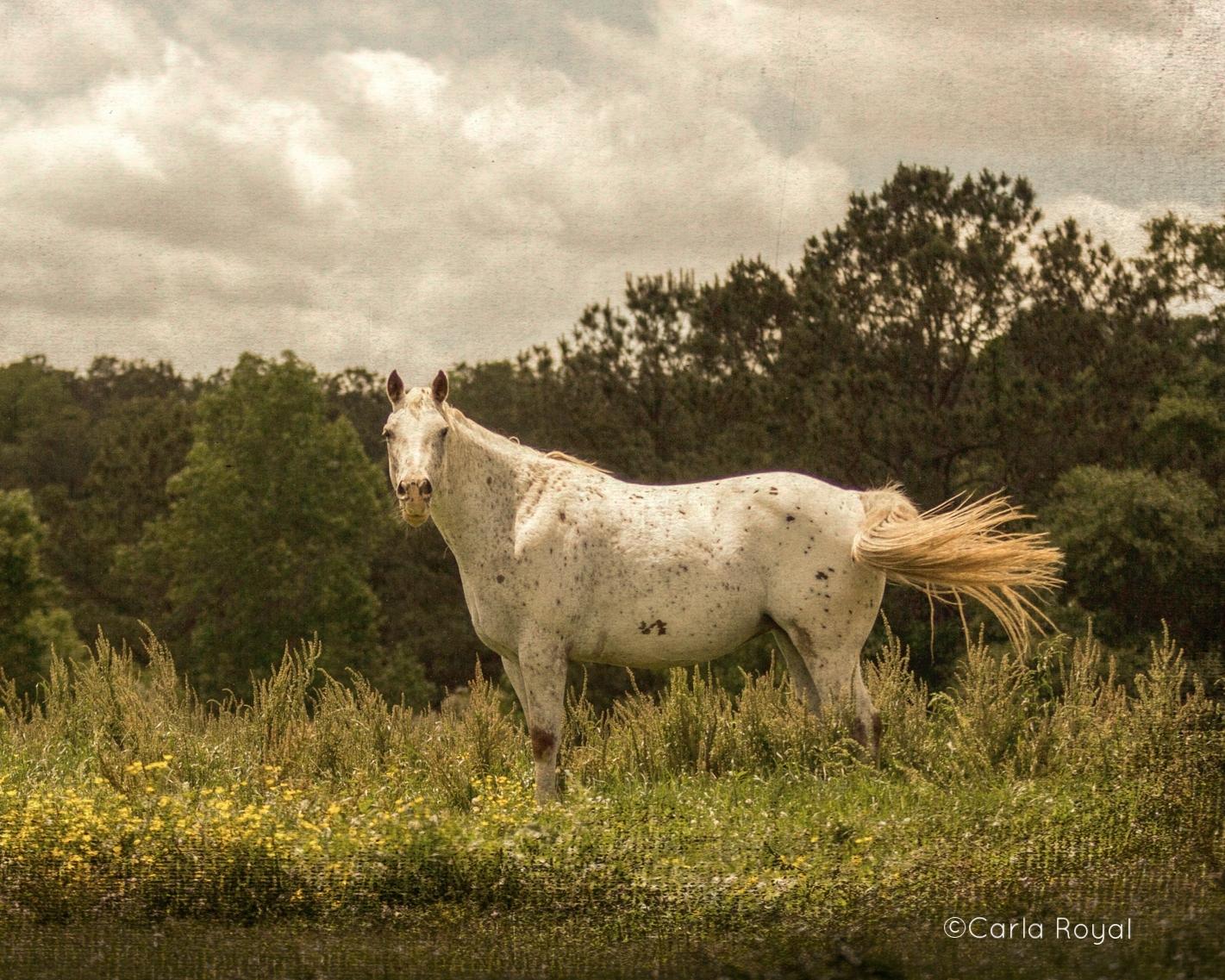horse-appaloosa-field-8.jpg