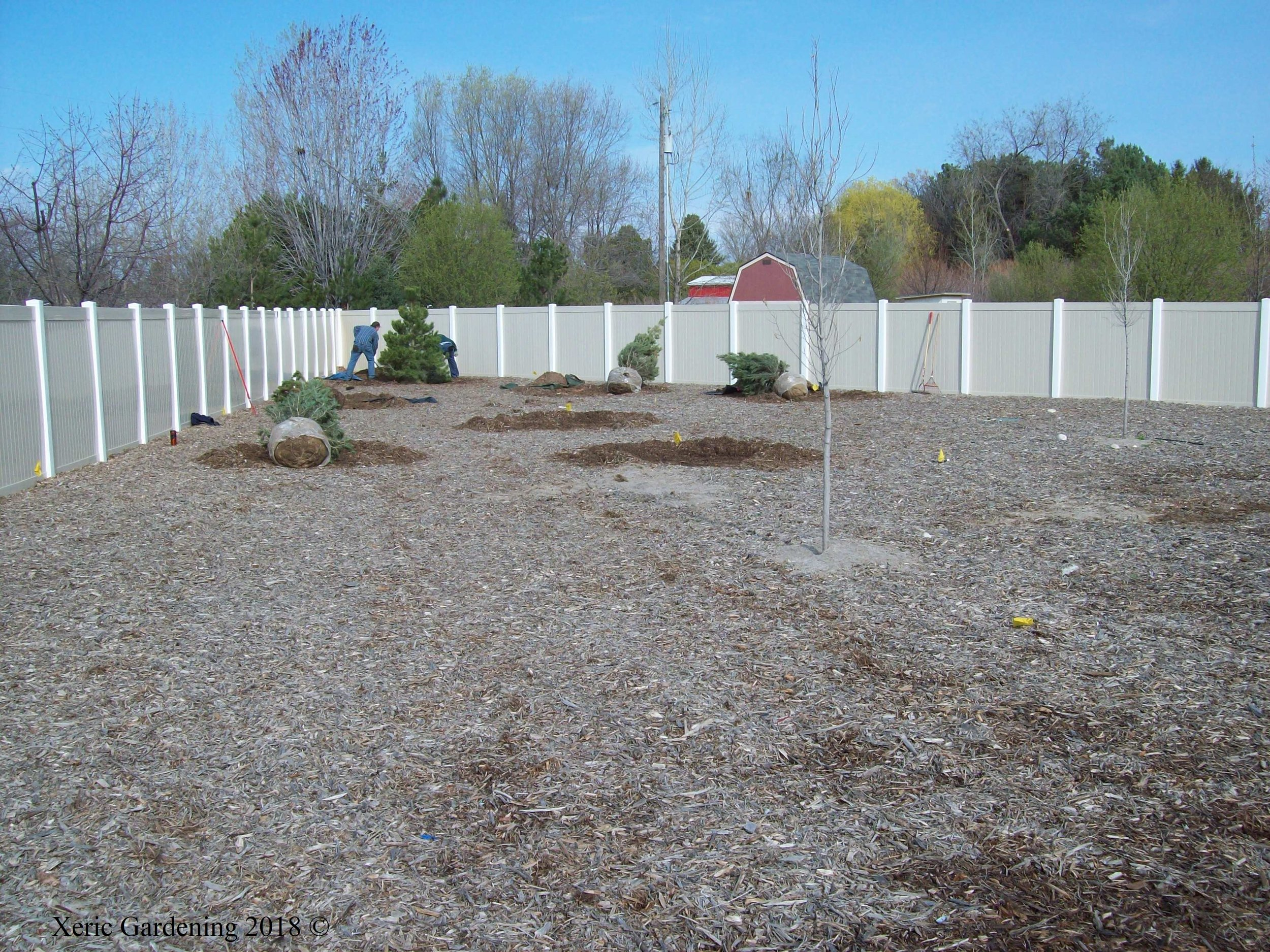 YEAR 1  This was the backyard of a newly constructed home. For the first year, we simply put down cardboard and a heavy layer of mulch to keep the weeds at bay until the clients could budget the money for this project. Their idea was to create a mini-forest in this area, which would be difficult to do here xerically. However, we changed up the forest to be a bristlecone and pinon pine forest, which will have much lower water needs. Trees were planted in the fall.