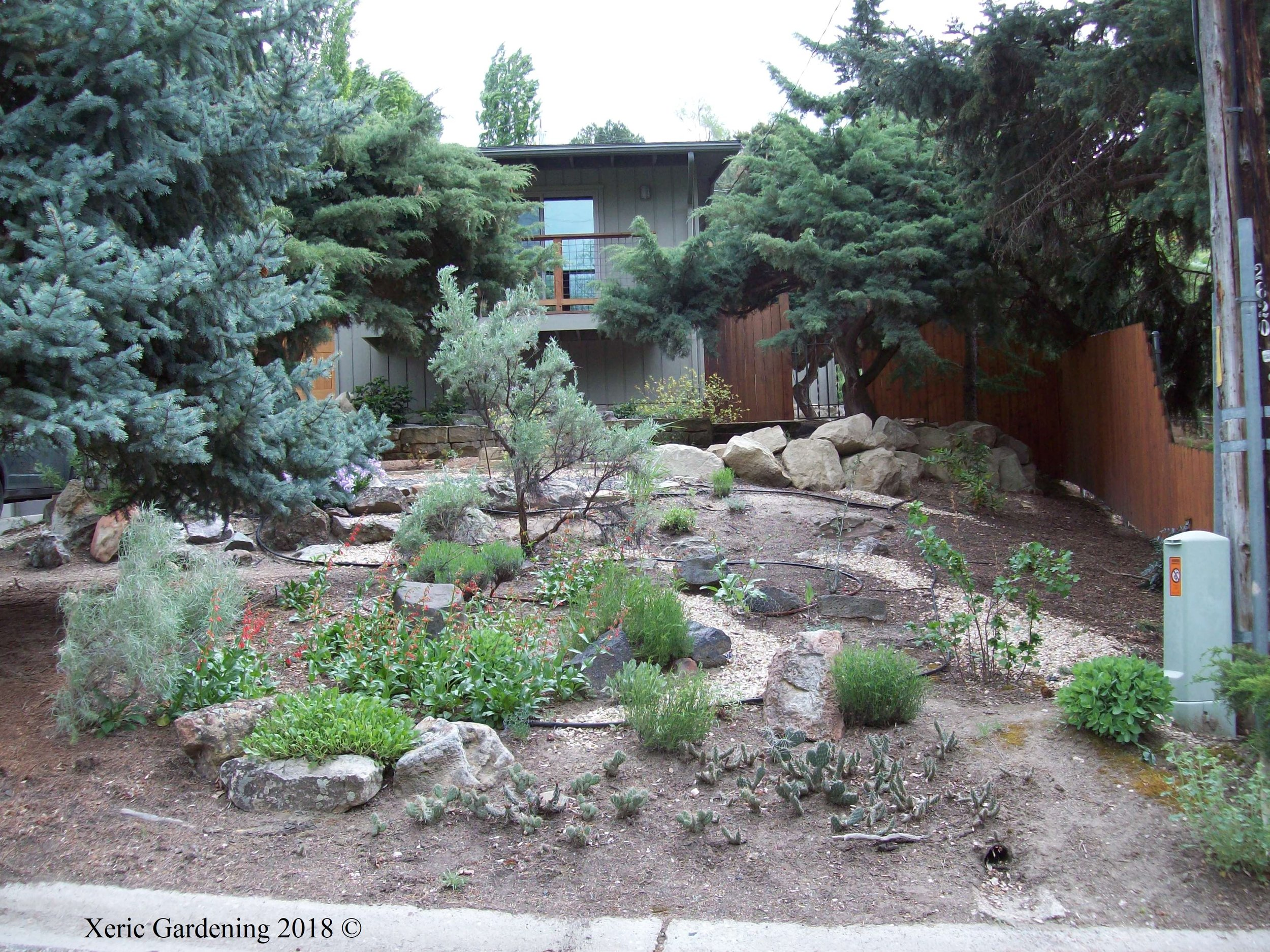 YEAR 3  With this garden being watered once weekly, plants are blooming, self-propagating, and filling in the space.