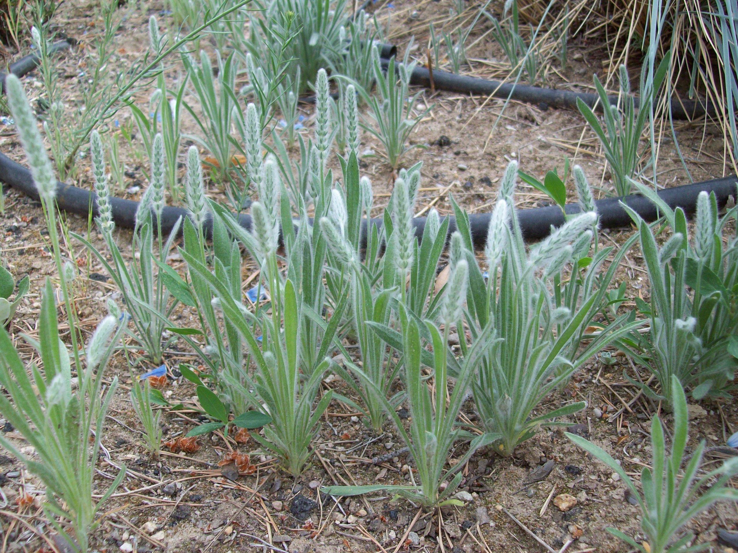 Desert Plantain