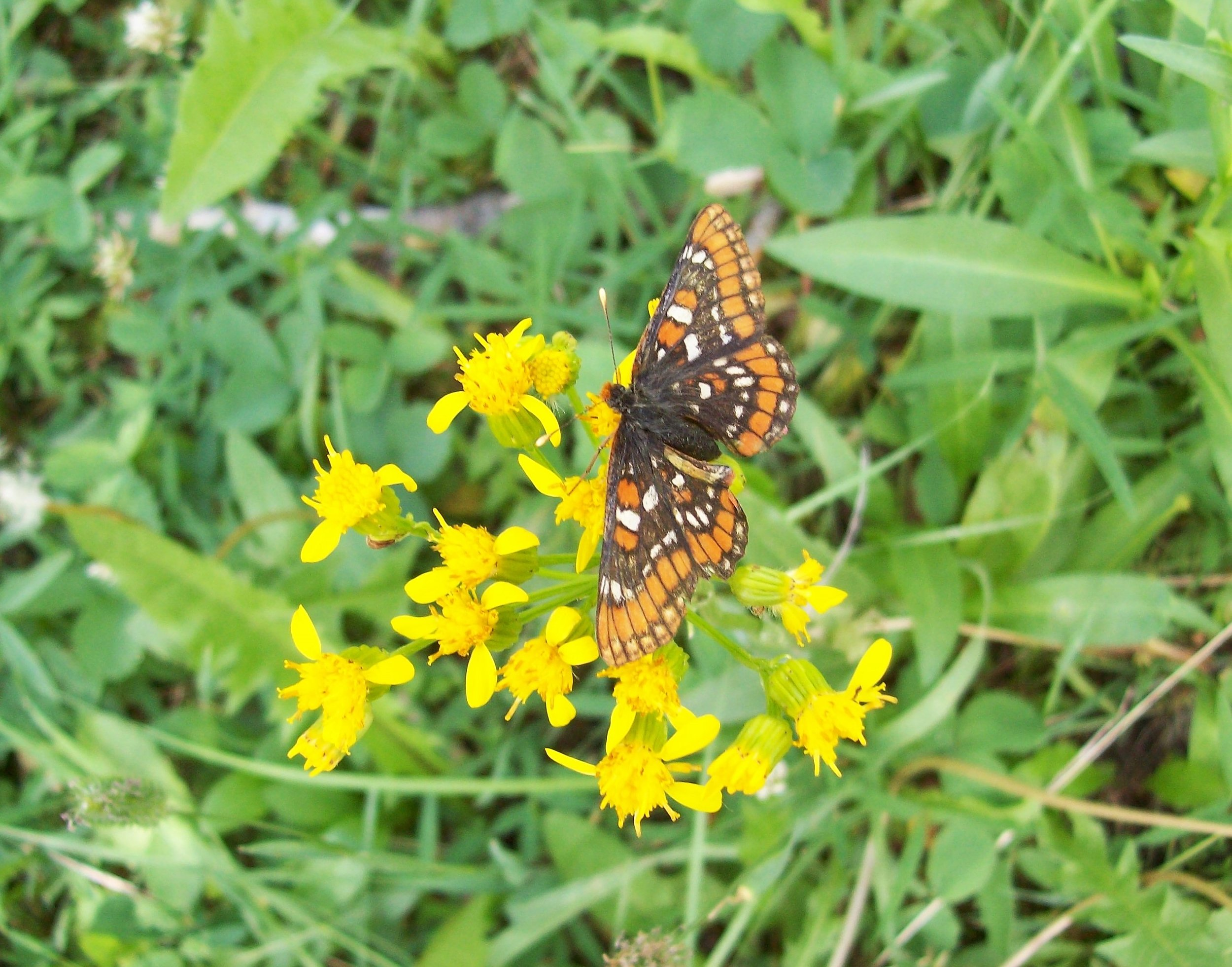 Field Crescent Butterfly