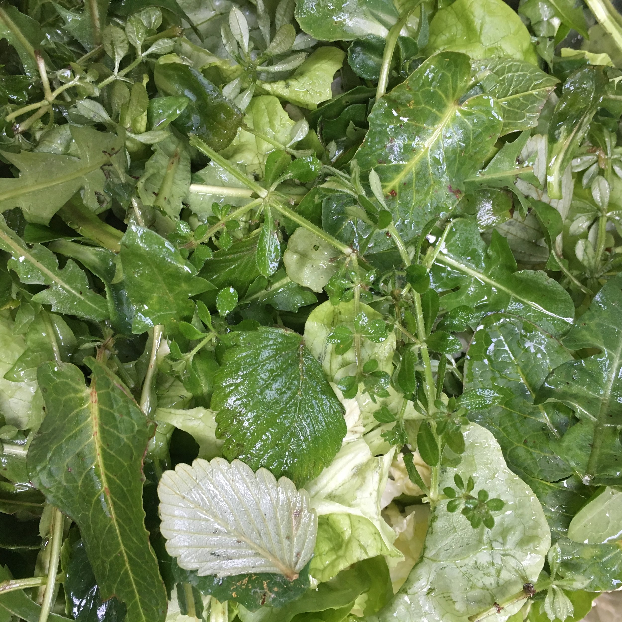 Wintery salad containing cleavers shoots, wild strawberry leaves and dandelion, amongst other things.