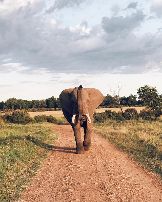 This handsome gentleman strut powerfully down his makeshift runway... trunk up... making us reverse all the way down the dirt road. My kind of fella... ✨🐘💚 #bossy