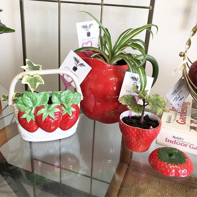 We've got a full selection of 🍓FRUITY CUTIES🍒 @pacificgalleries right now! Perfect for brightening up your kitchen or gifting to your fave friend! 🍎🍊🍓🍋🥝🍒✨ • • • • •#interiordesign #houseplantclub #parlorpalm #houseplants, #indoorplants, #airplants, #plants, #plantsofinstagram, #plantstyling, #plantsmakepeoplehappy  #seattle #shopsmall #smallbusiness #jungalowstyle #interiorinspirations #vintage #homedecor #seattle #plantsarefriends #hangingplants #fern #rattanfurniture #midcenturymodern #ponytailpalm #airplants #tillandsia #palm #midcenturymodern #homecrest #wickerfurniture #rattanfurniture