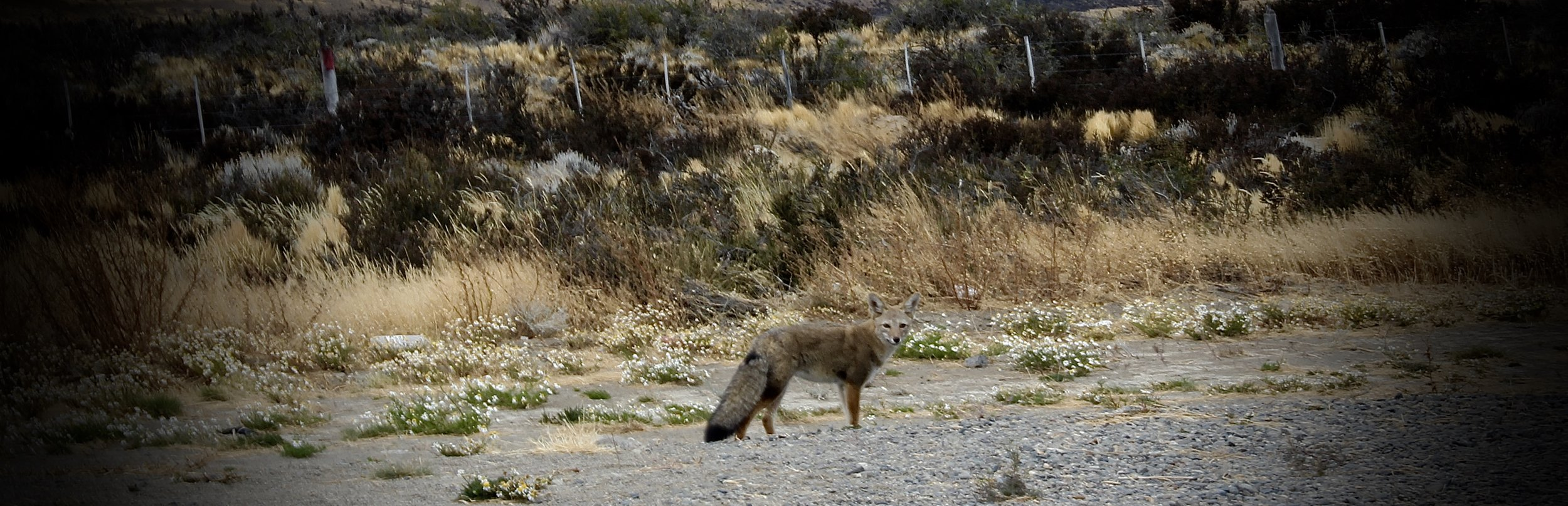 South American Grey Fox / Patagonian Fox / Culpeo / Chilla / Grey Zorro.