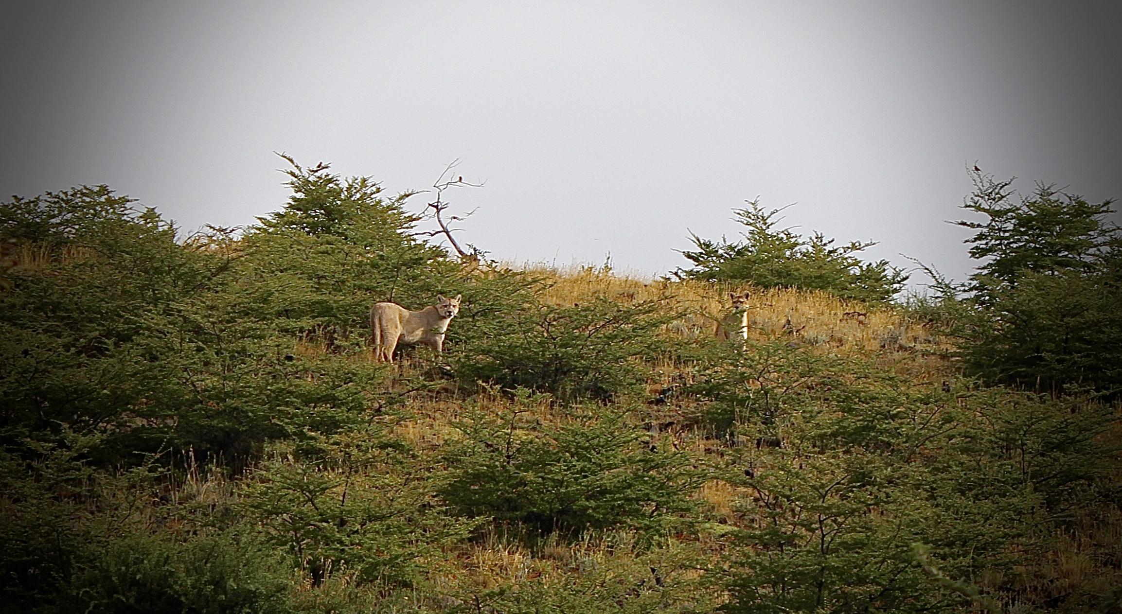 Pumas in Patagonia !
