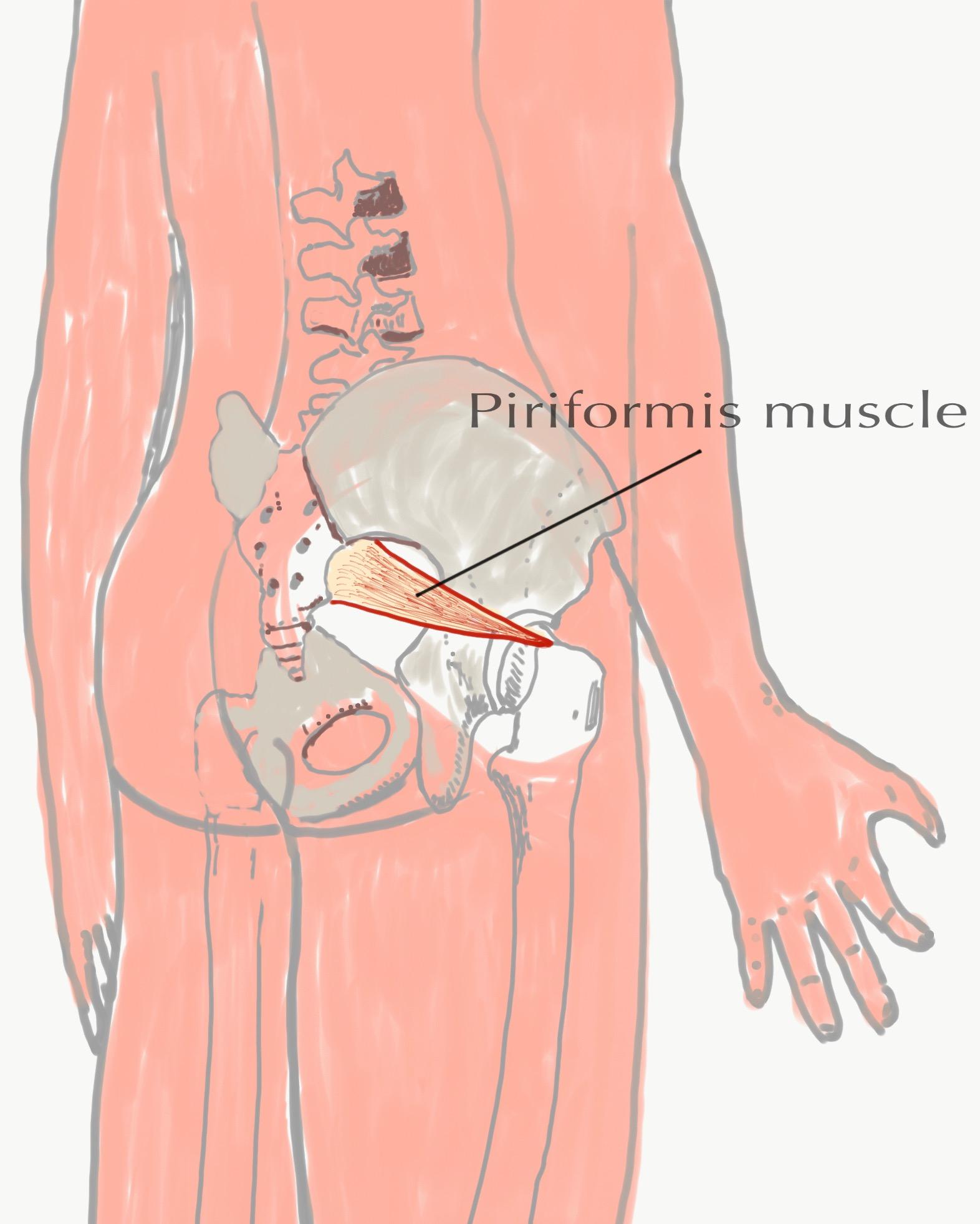 Piriformis — The Bodywork Institute