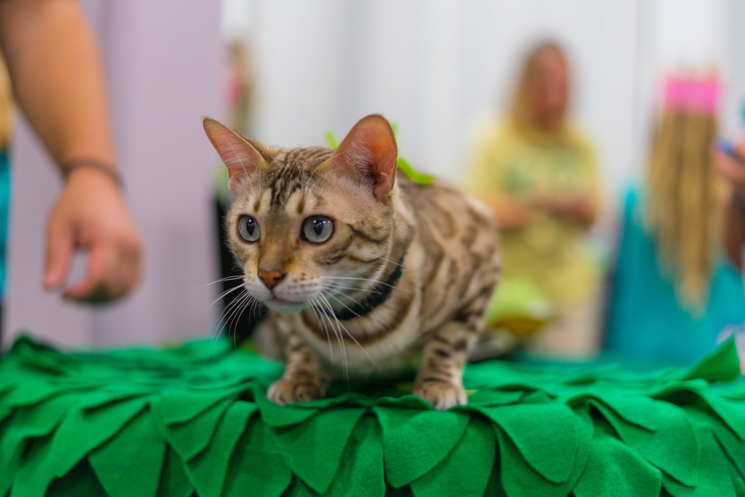 Leap into January with Leo - Learn all about Bengal Cats and our January ambassador of month, Leo