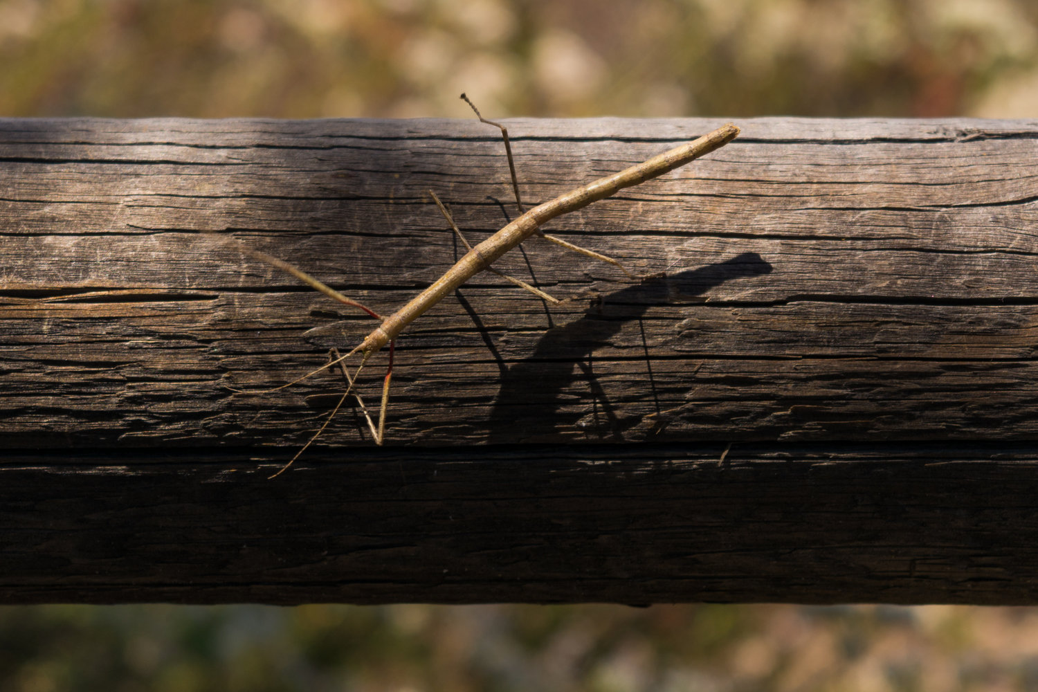 Walk on the wild side with our November Ambassador - Walking sticks are super neat animals - learn more about them!