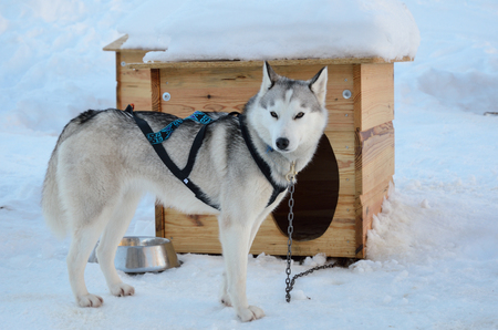 Sled dog chained.jpg