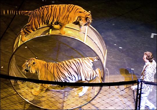 circus tigers.jpg