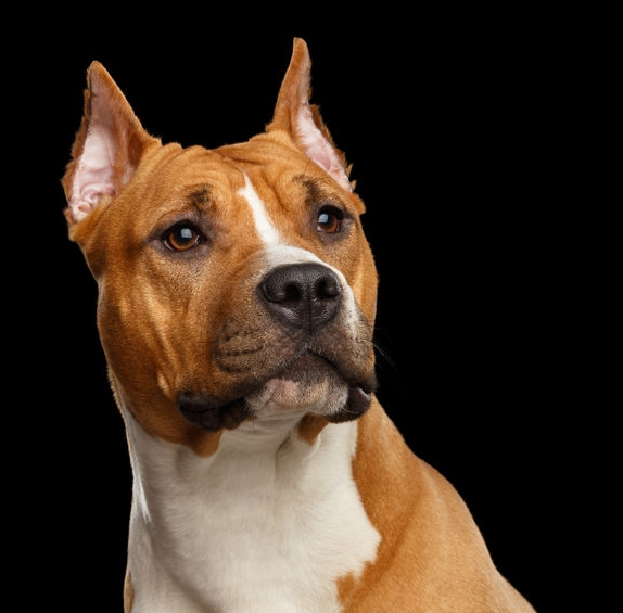 Pit Bull black background.jpg
