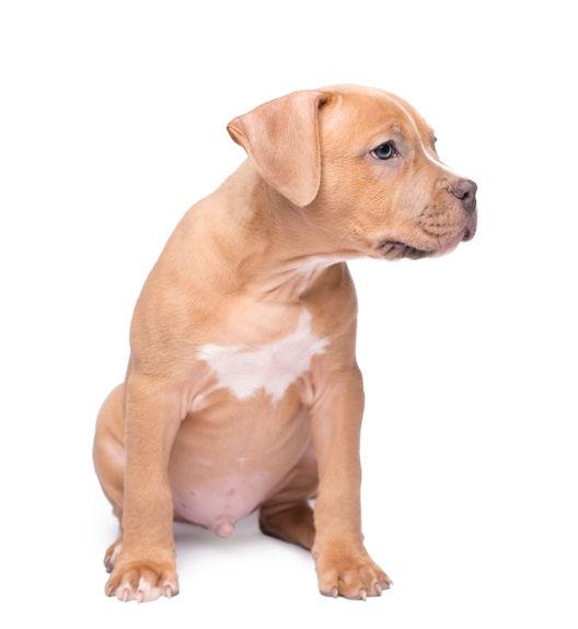 pit puppy.jpg
