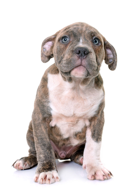 Am Staf puppy.jpg