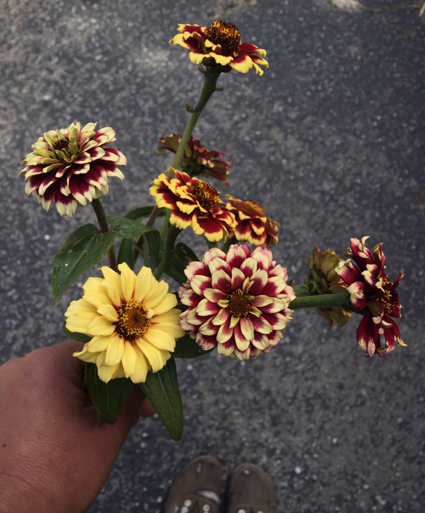 "Zinnias ""Persian Carpet"""