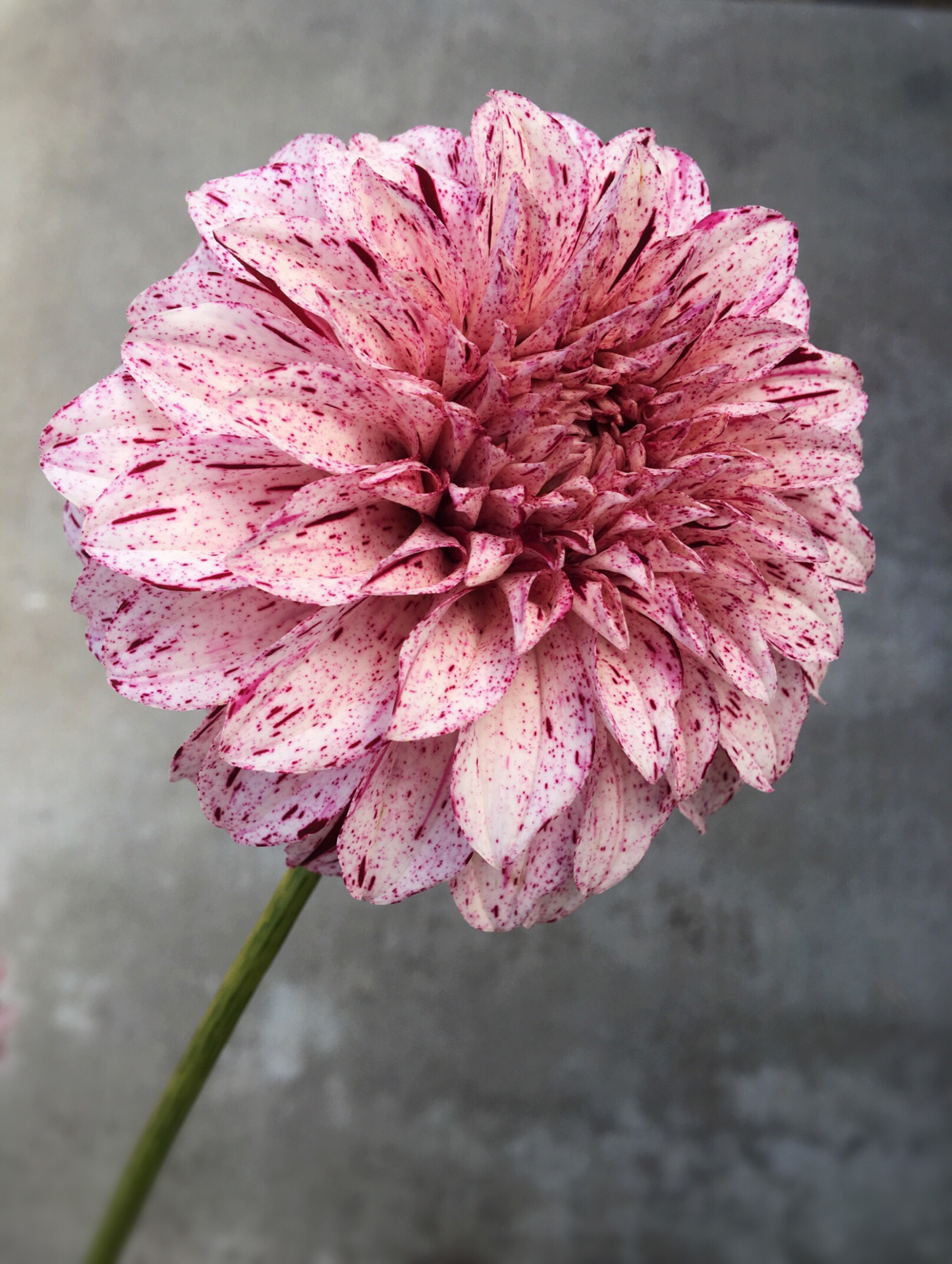 Beautiful speckled dahlia who's name I can't remember