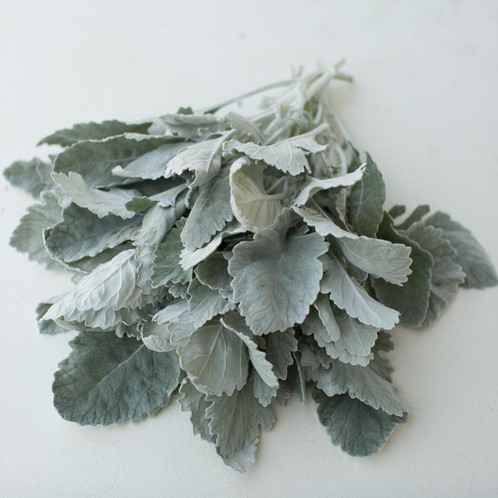"Dusty Miller ""New Look"""