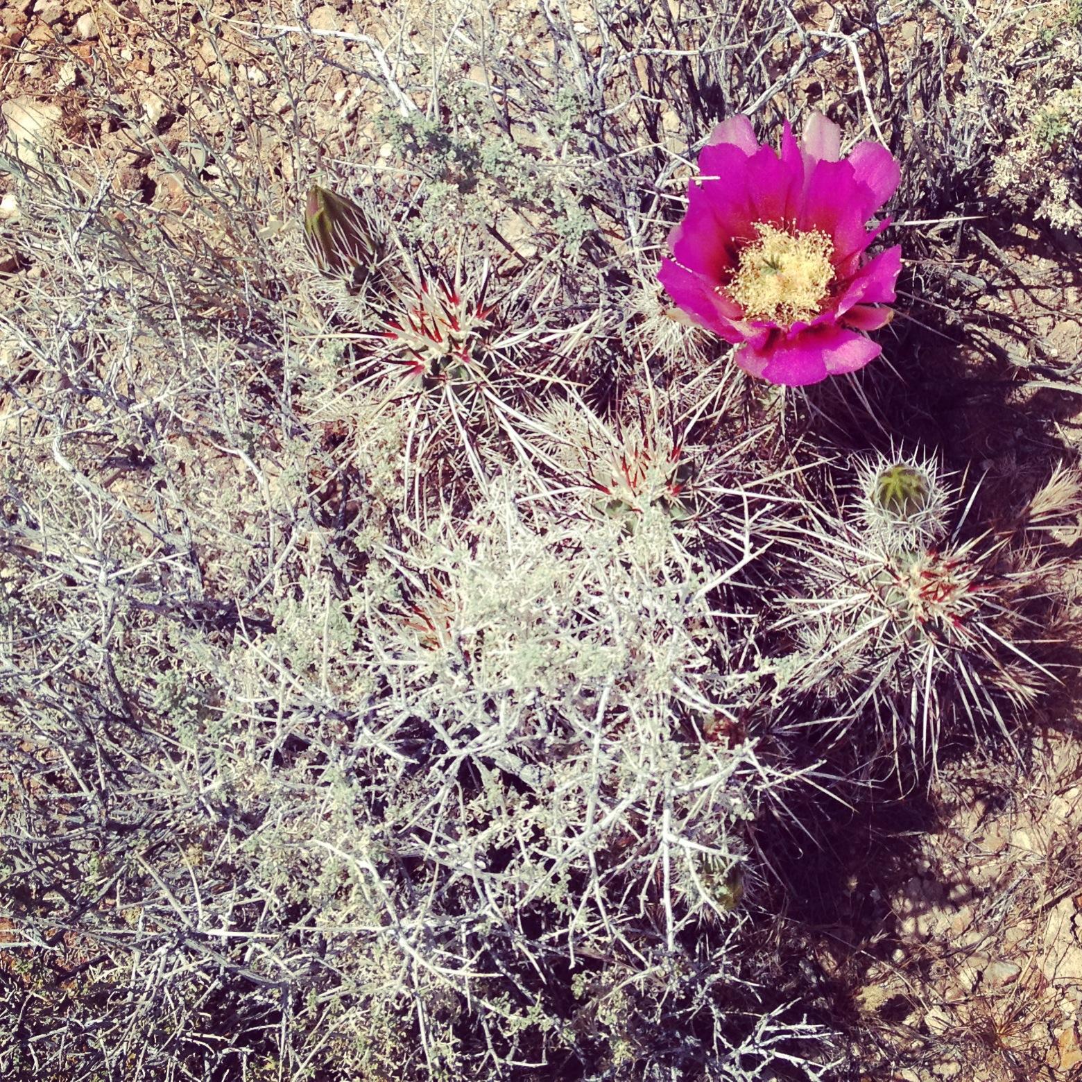 desert-hot-springs-cactus-bloom.JPG