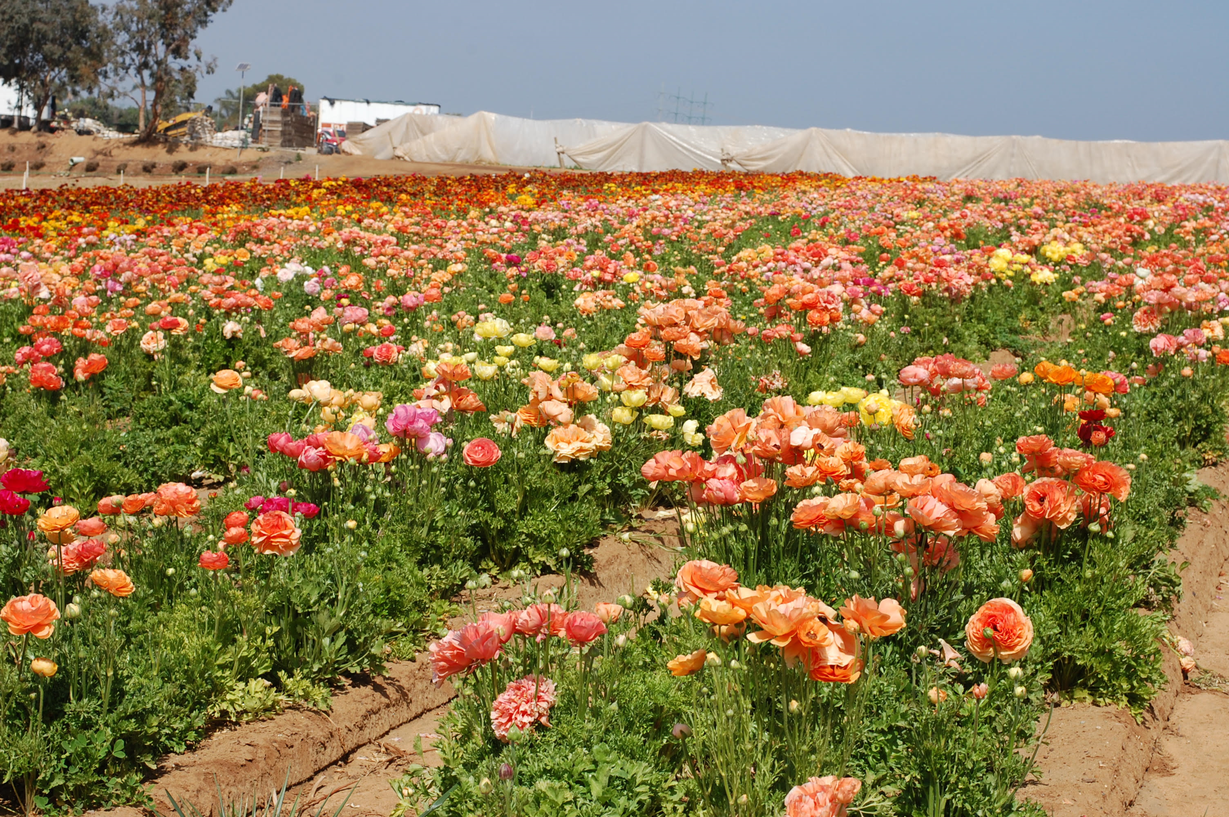 flower fields eight.png