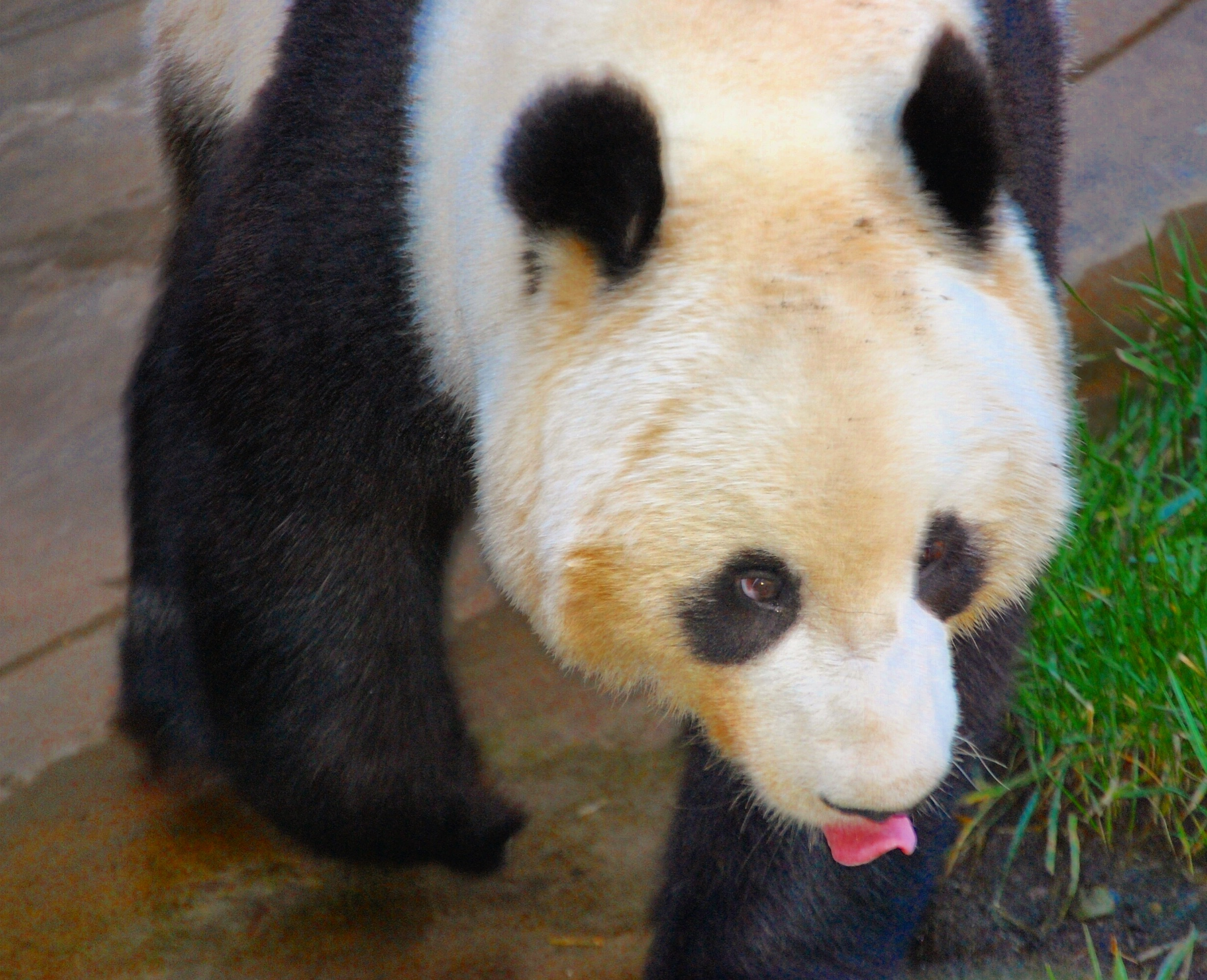 2. Panda Bears - Not only are these black and white fluffy bears adorable, but they are also extremely rare. Only 4 zoos in the US have giant pandas: Atlanta, DC, Memphis, and San Diego. San Diego treats their pandas like royalty with 2 acres for three pandas, endless bamboo gardens, and air-conditioned bedrooms.