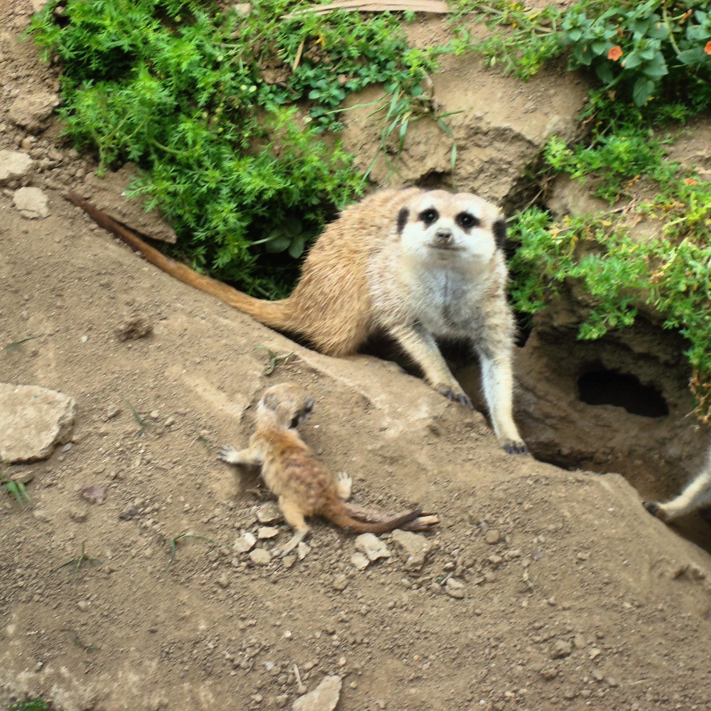 Mamma & baby meerkat