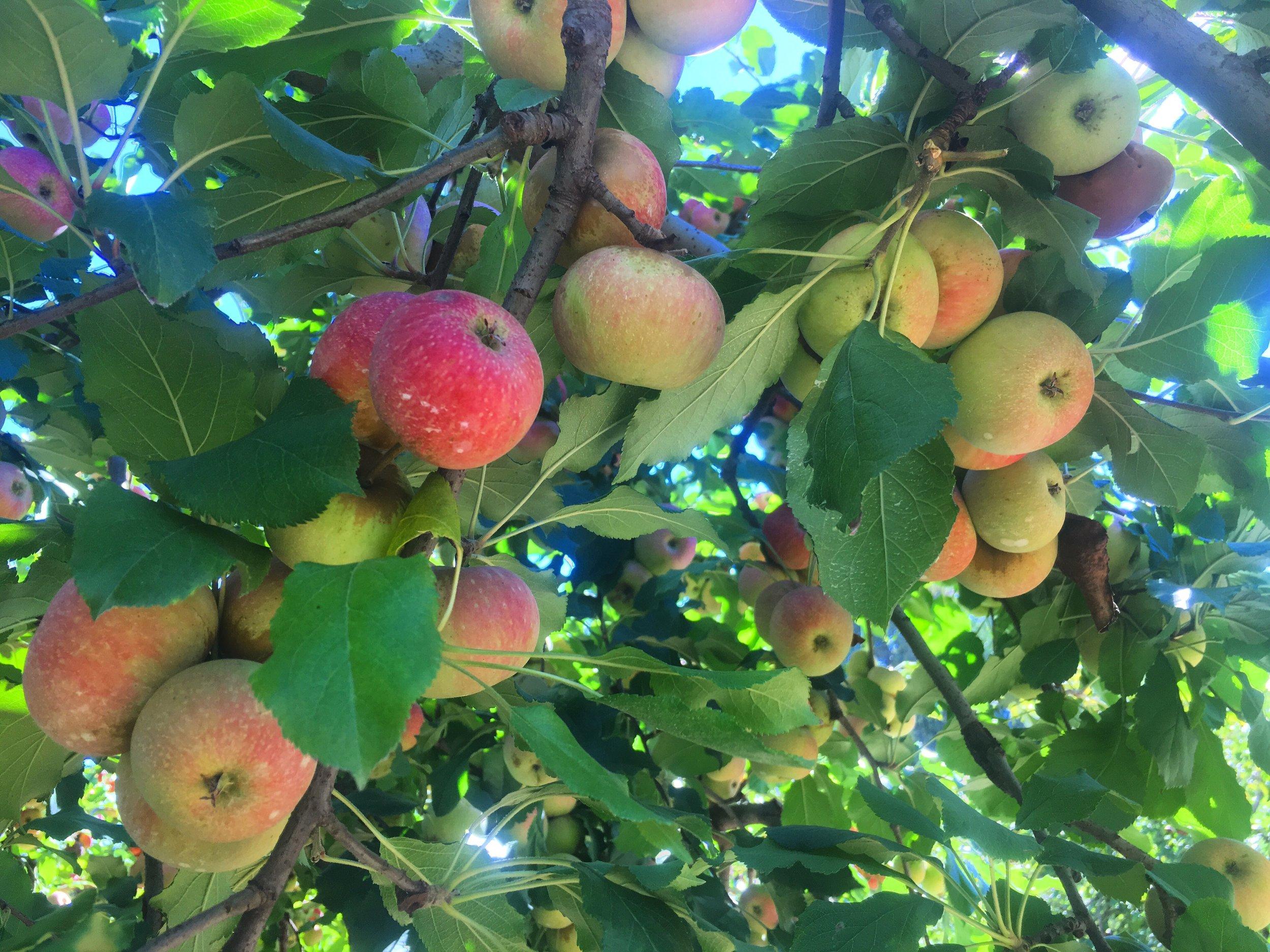 apple 5.JPG