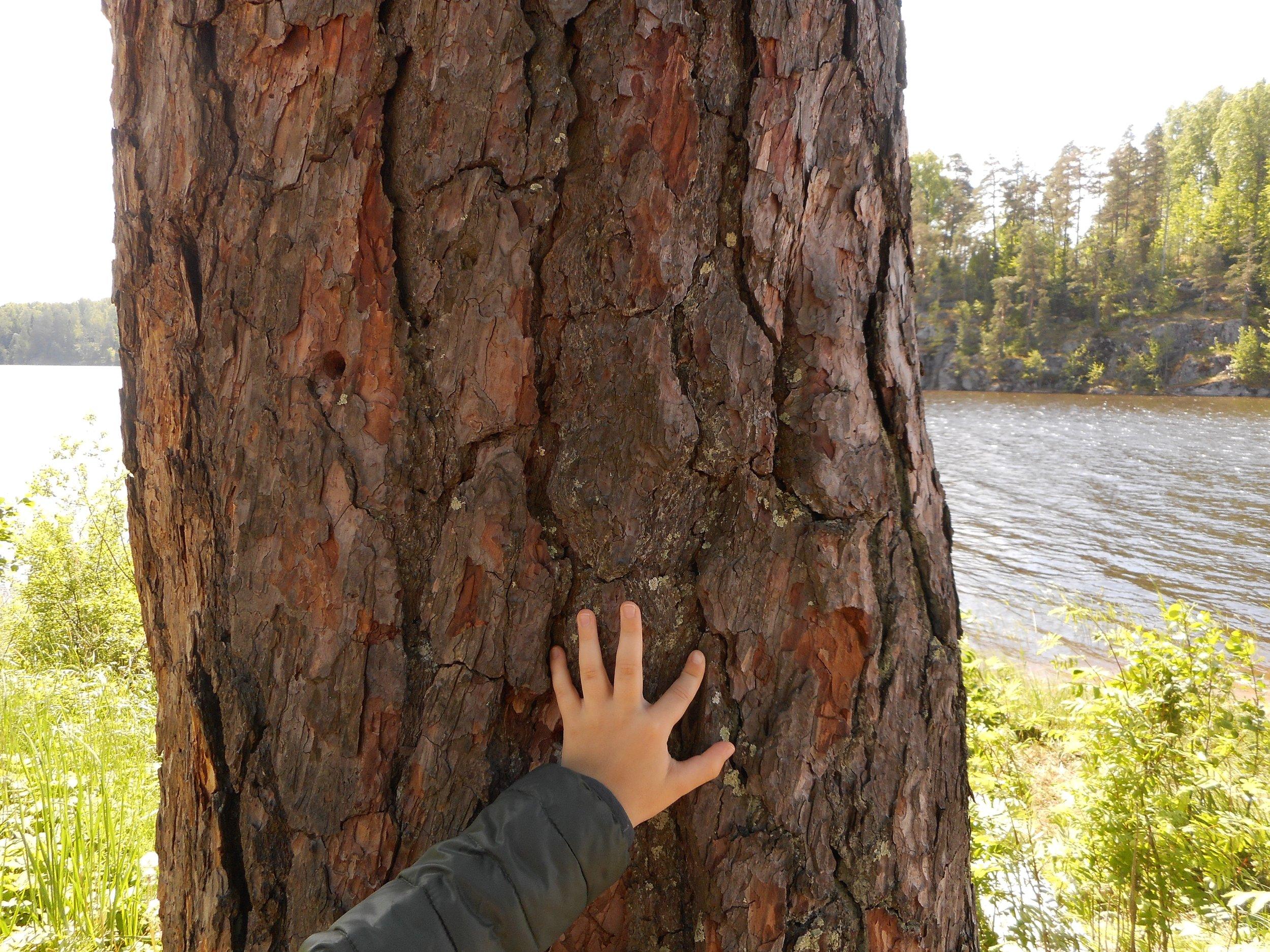 Beautiful old tree in Nuuksio National park