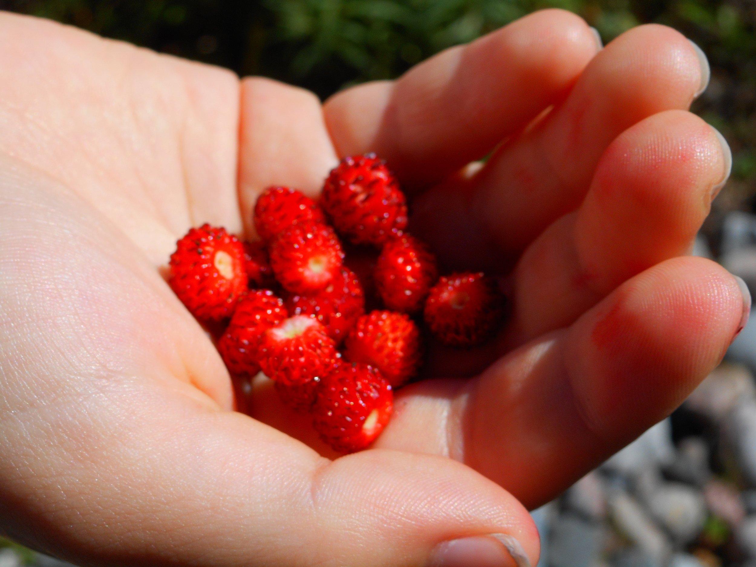 Wild strawberries on hand Nature trip Helsinki