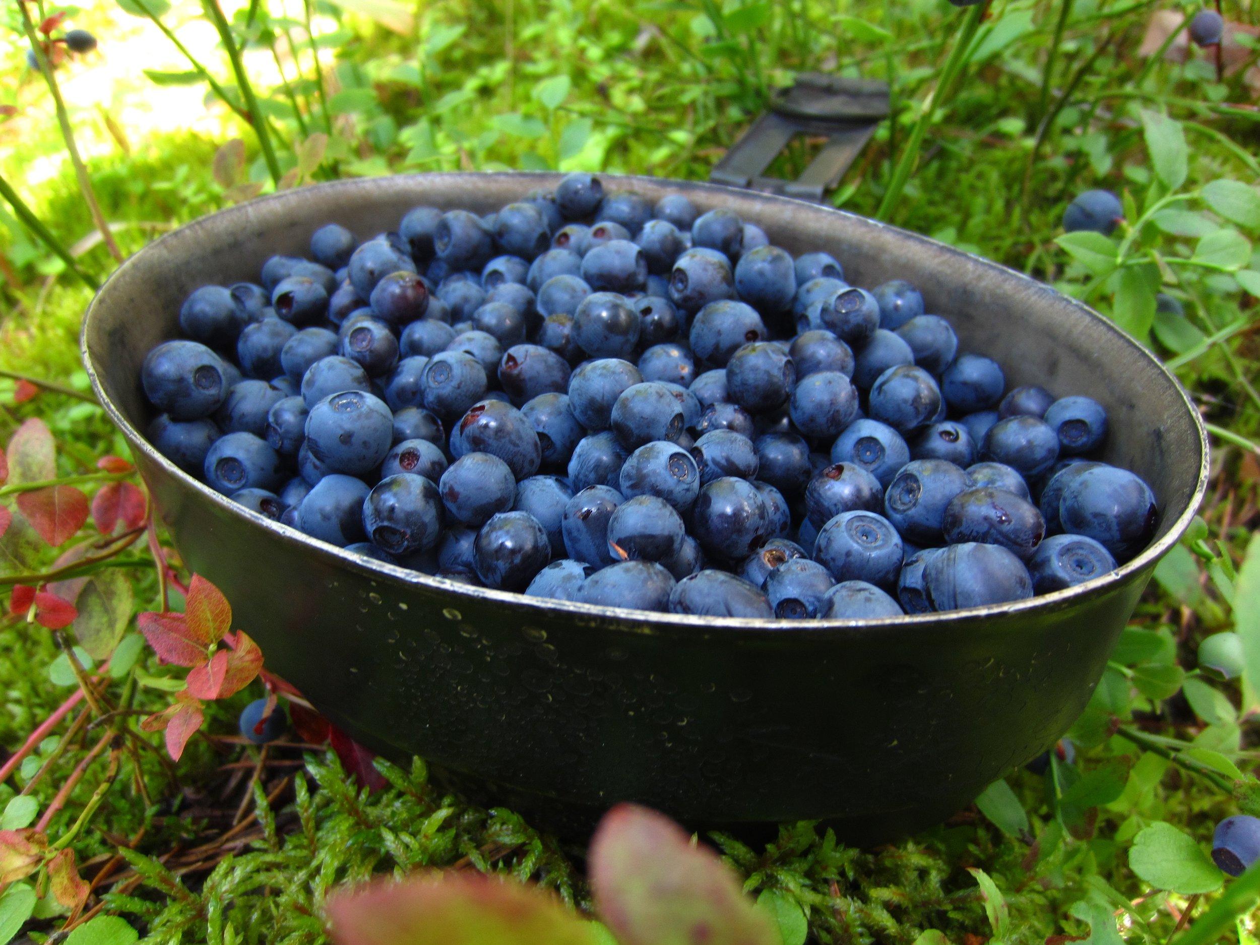 Berry picking trip blueberries Nuuksio National Park