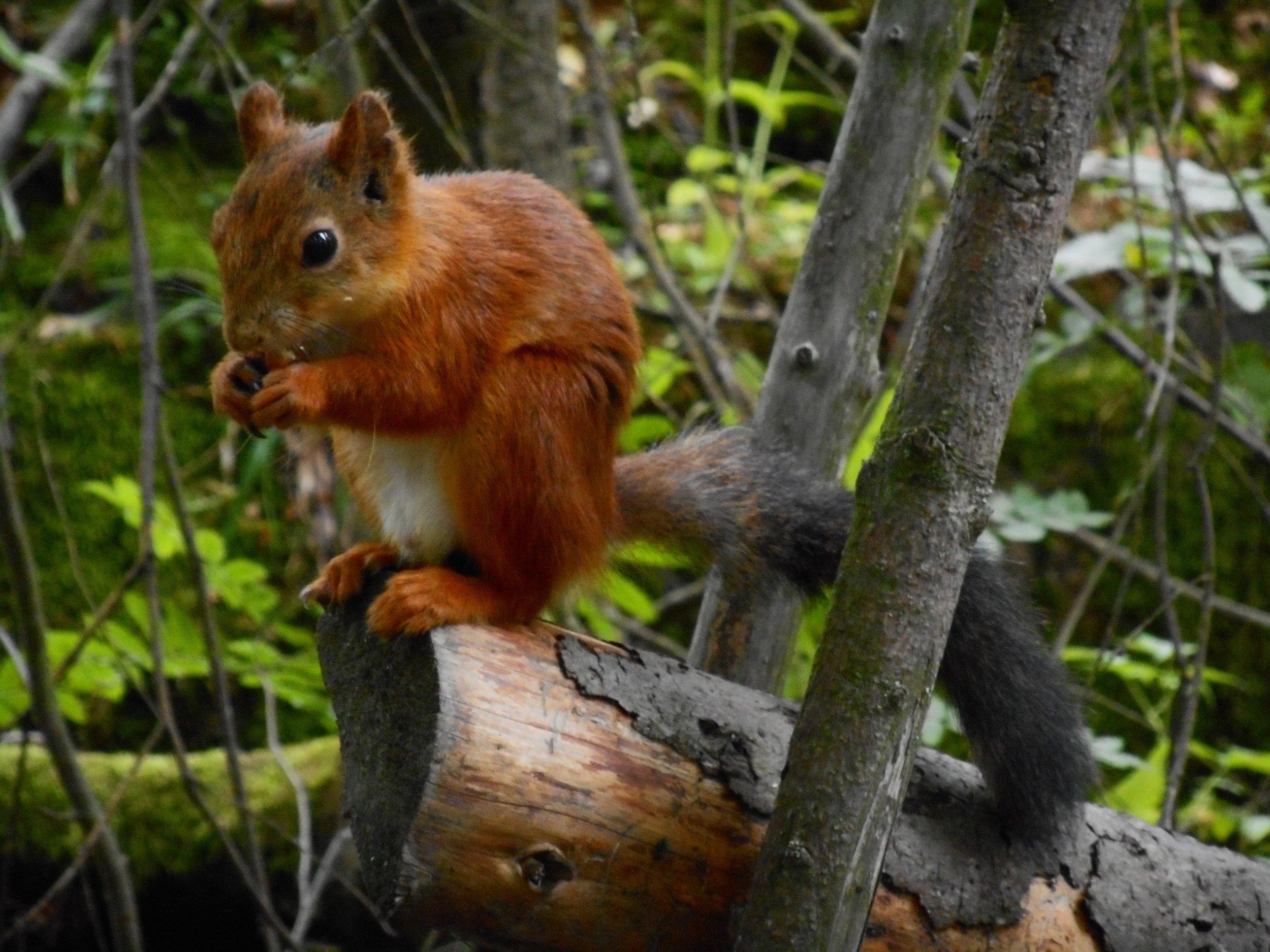 Squirrel Finland nature wild animals