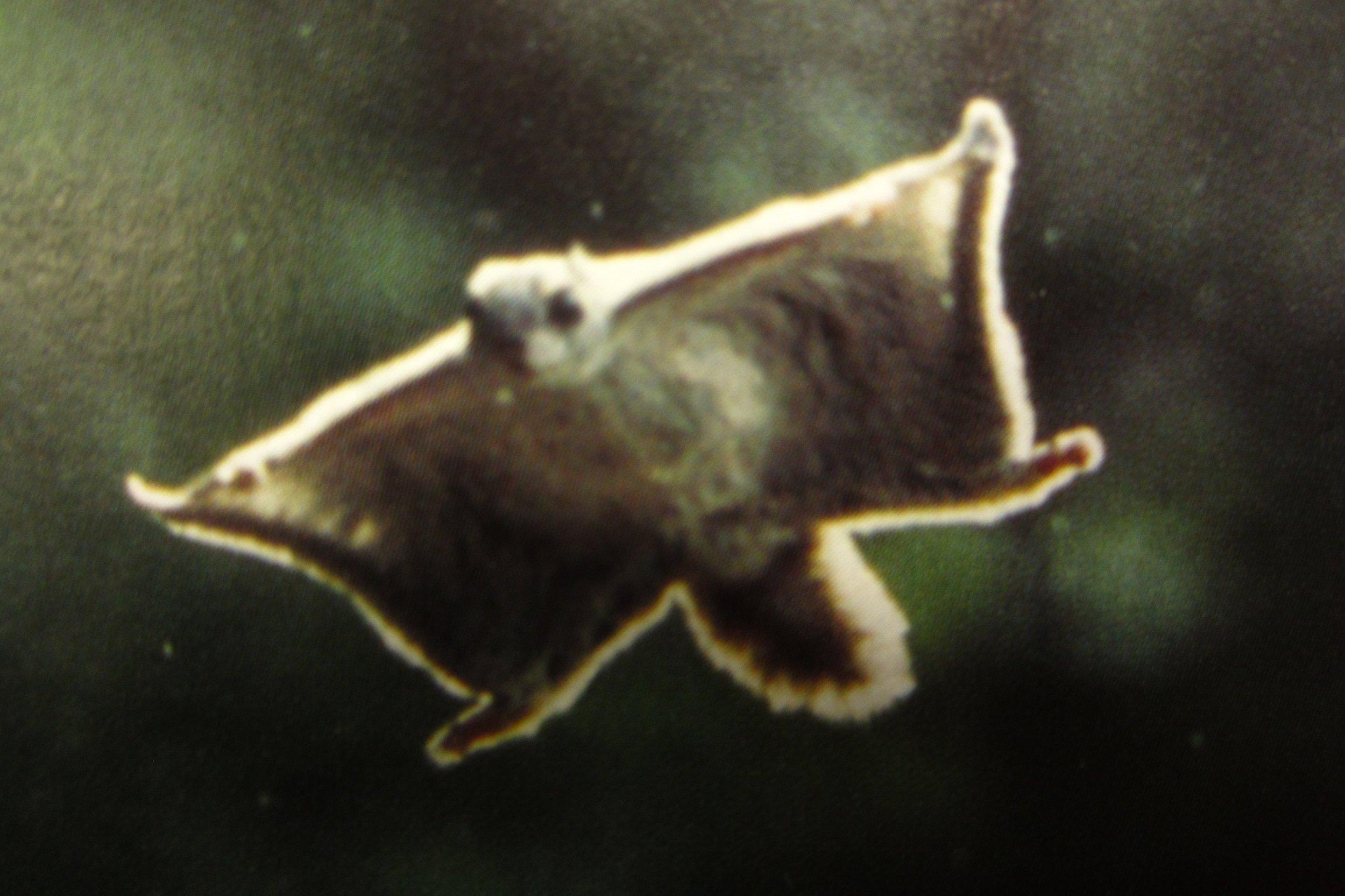 Flying squirrel Nuuksio National Park