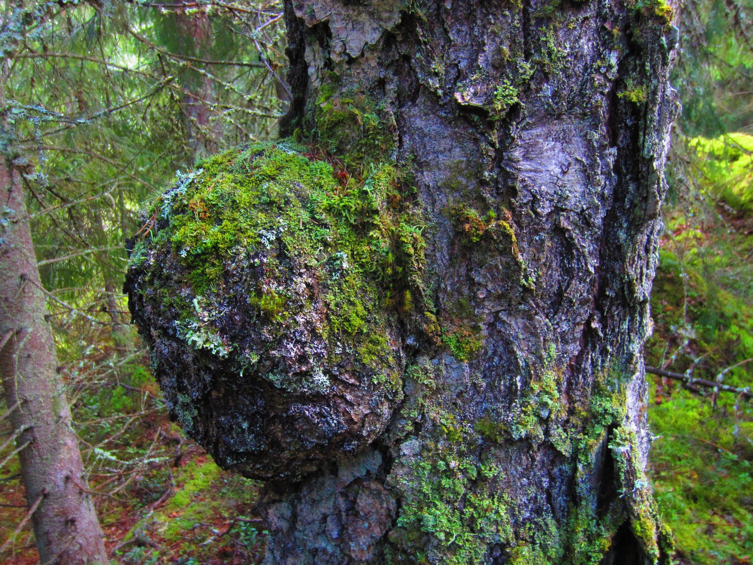 Gnarl on tree Nuuksio National Park