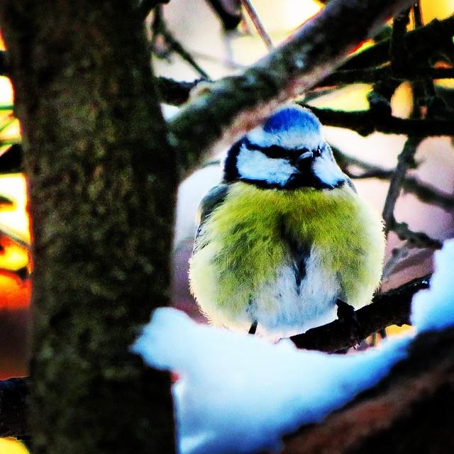 #sinitiainen #bluetit #finnishbirds #beautyofsuomi #discoverfinland #birds #birdstagram #igbirds #birdslife #birdwatching #birdspotting #lomitravels #lominaturetravels  #visitfinland #visithelsinki  #myhelsinki #explorefinland #finland #helsinki #finlandnature